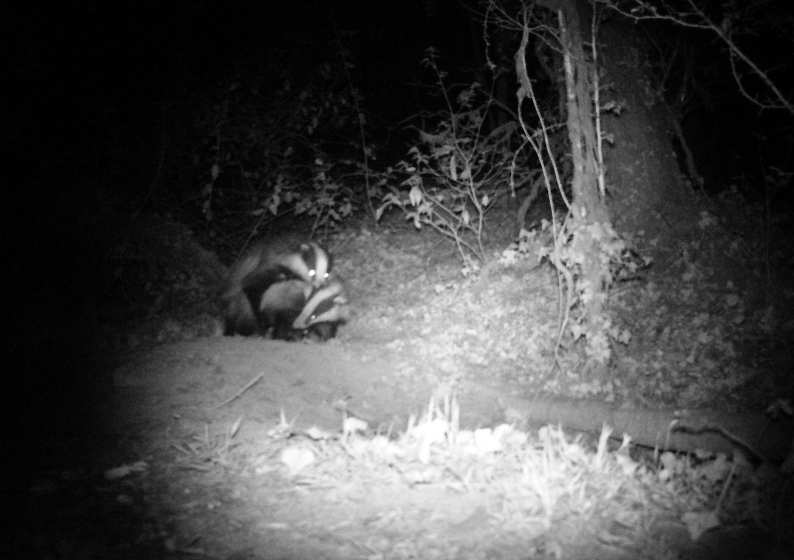 La cópula captada con cámara nocturna. Imagen cedida por Xosé Pardavila.