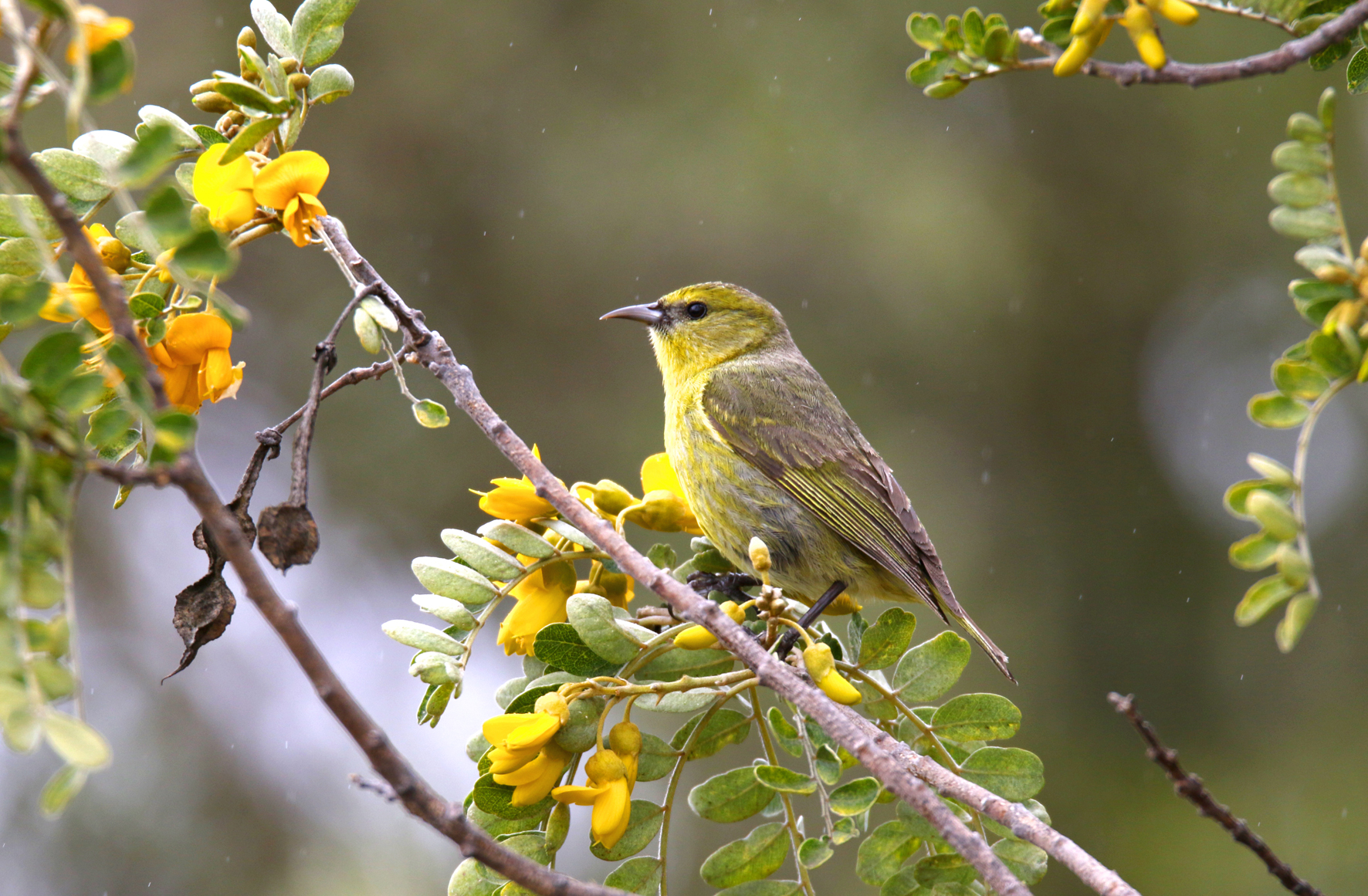 Uno de los pájaros mieleros estudiados en Hawai. Imagen: UMH