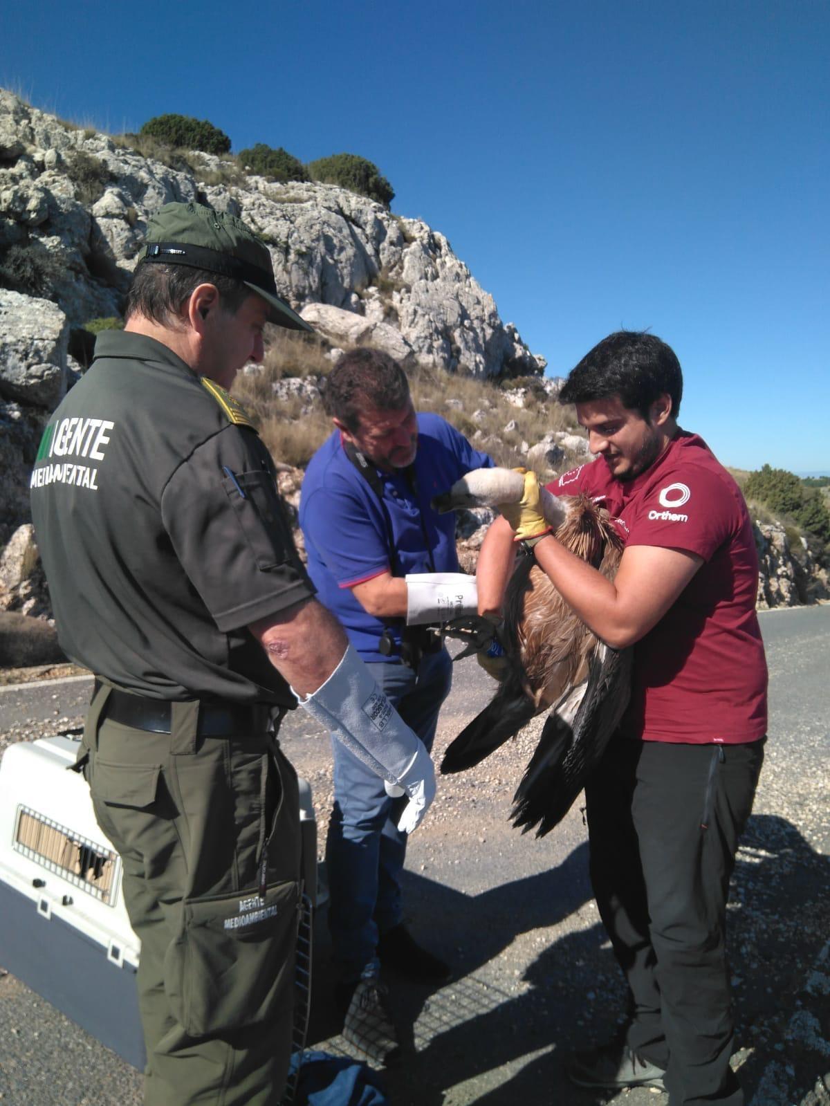 Un momento de la liberación del buitre leonado. Imagen: CARM