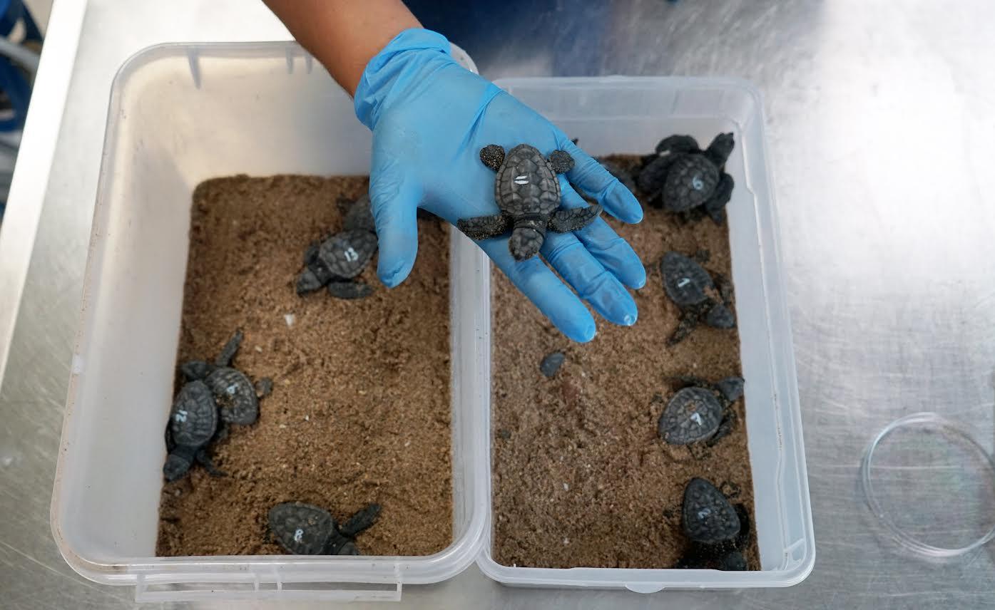 Trece neonatos del nido de El Puig. Imagen: Oceanogràfic
