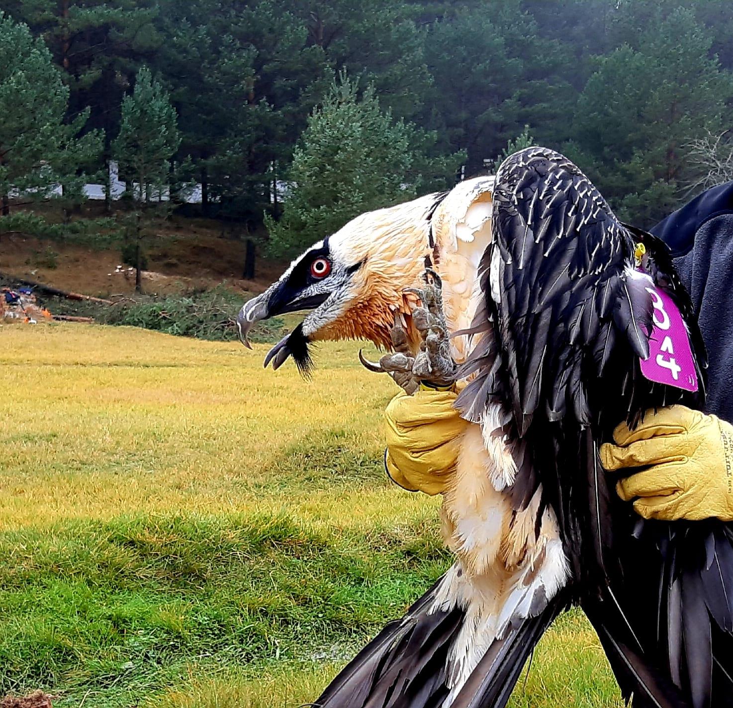 Uno de los ejemplares liberados en el en el Parque Natural de la Tinença de Benifassà. Imagen: GV