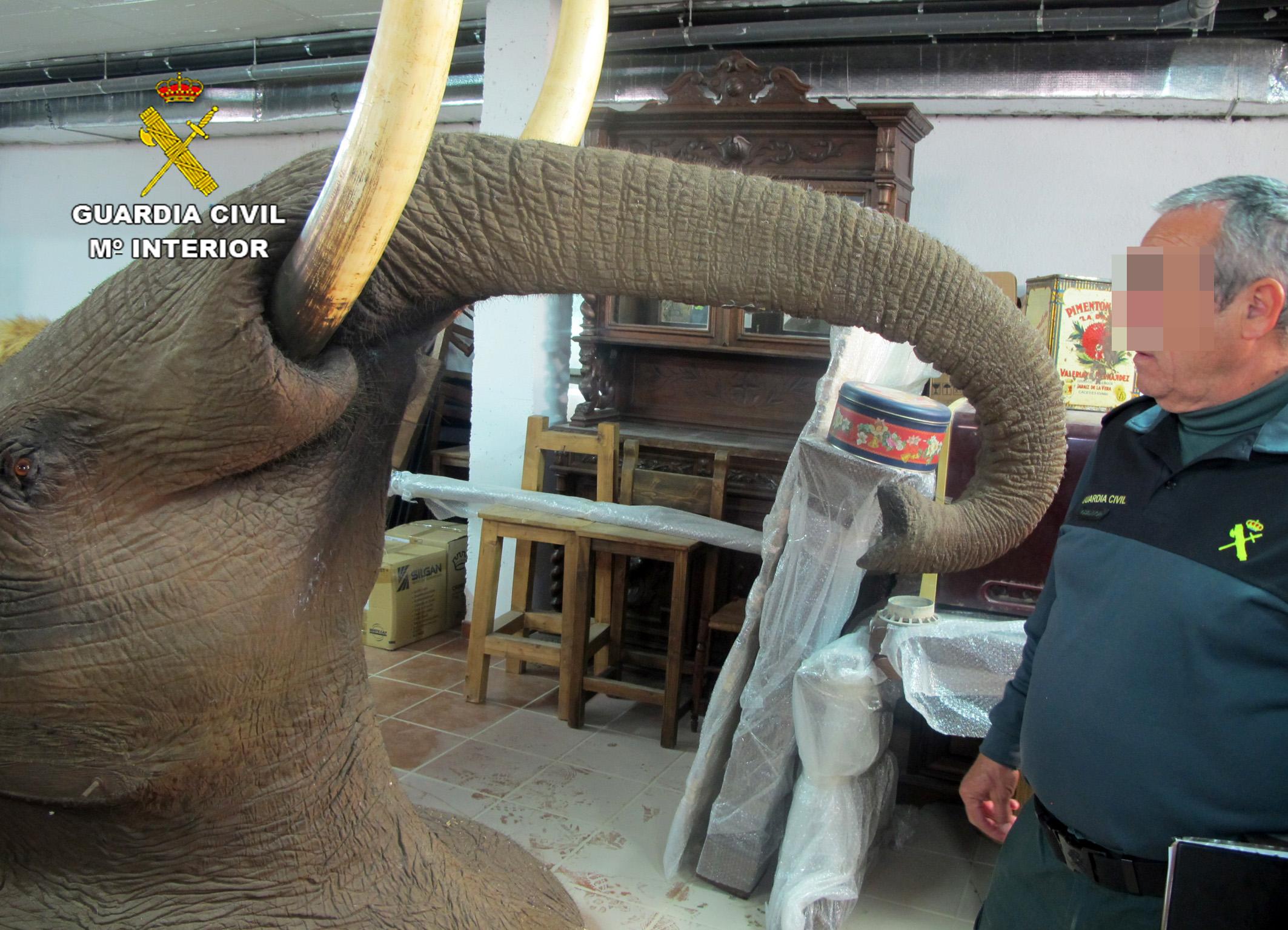 Un trofeo de elefante. Imagen: Seprona