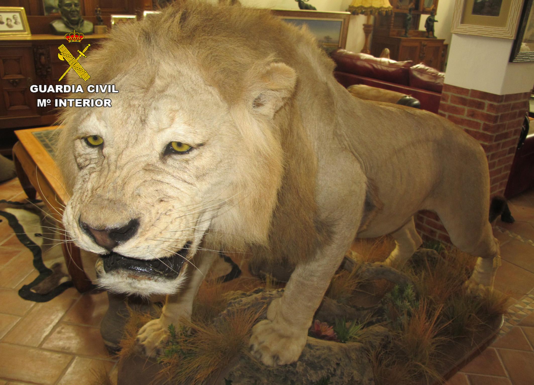 Un león naturalizado. Imagen: Seprona