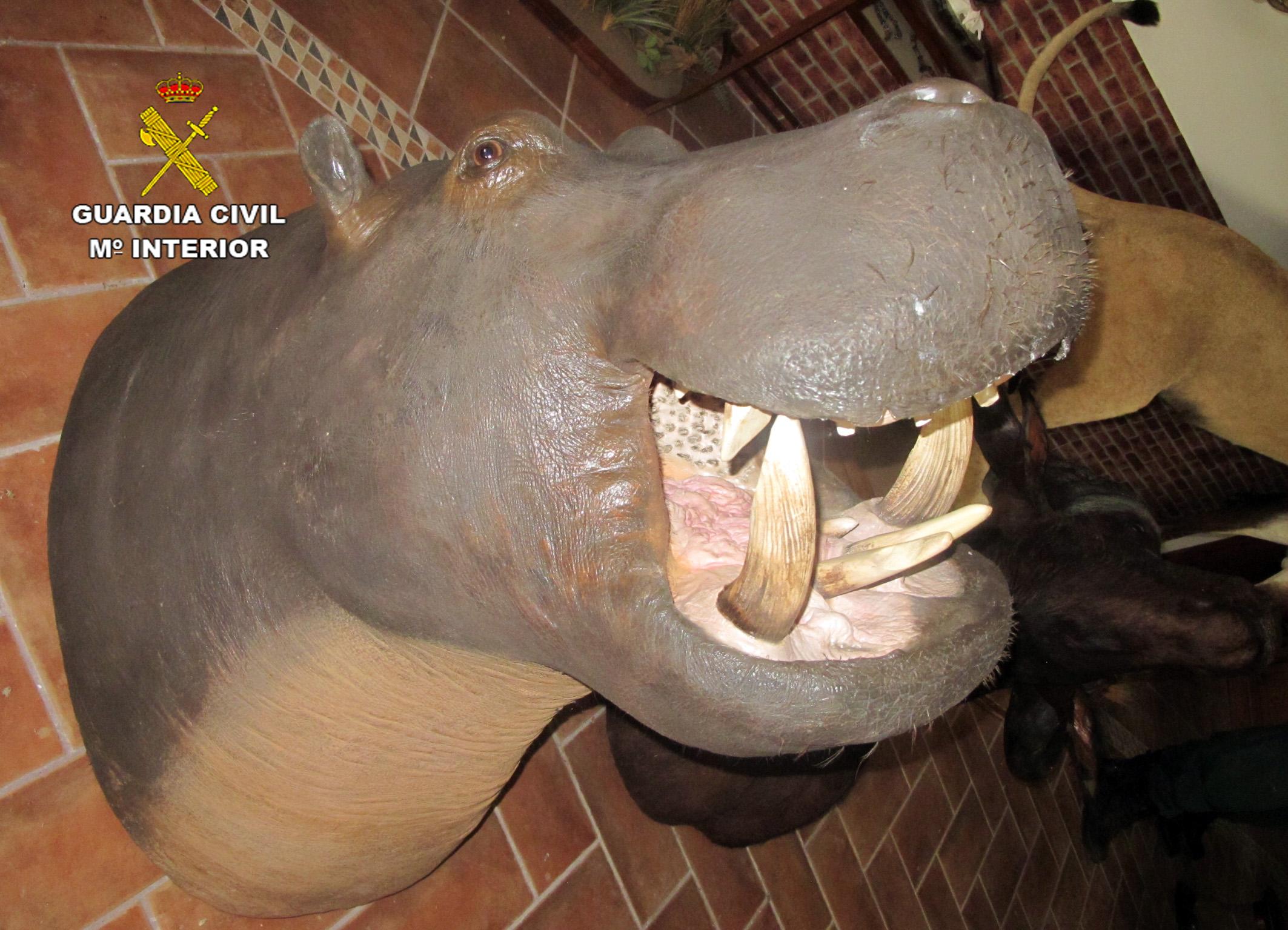 Cabeza de hipopótamo. Imagen: Seprona