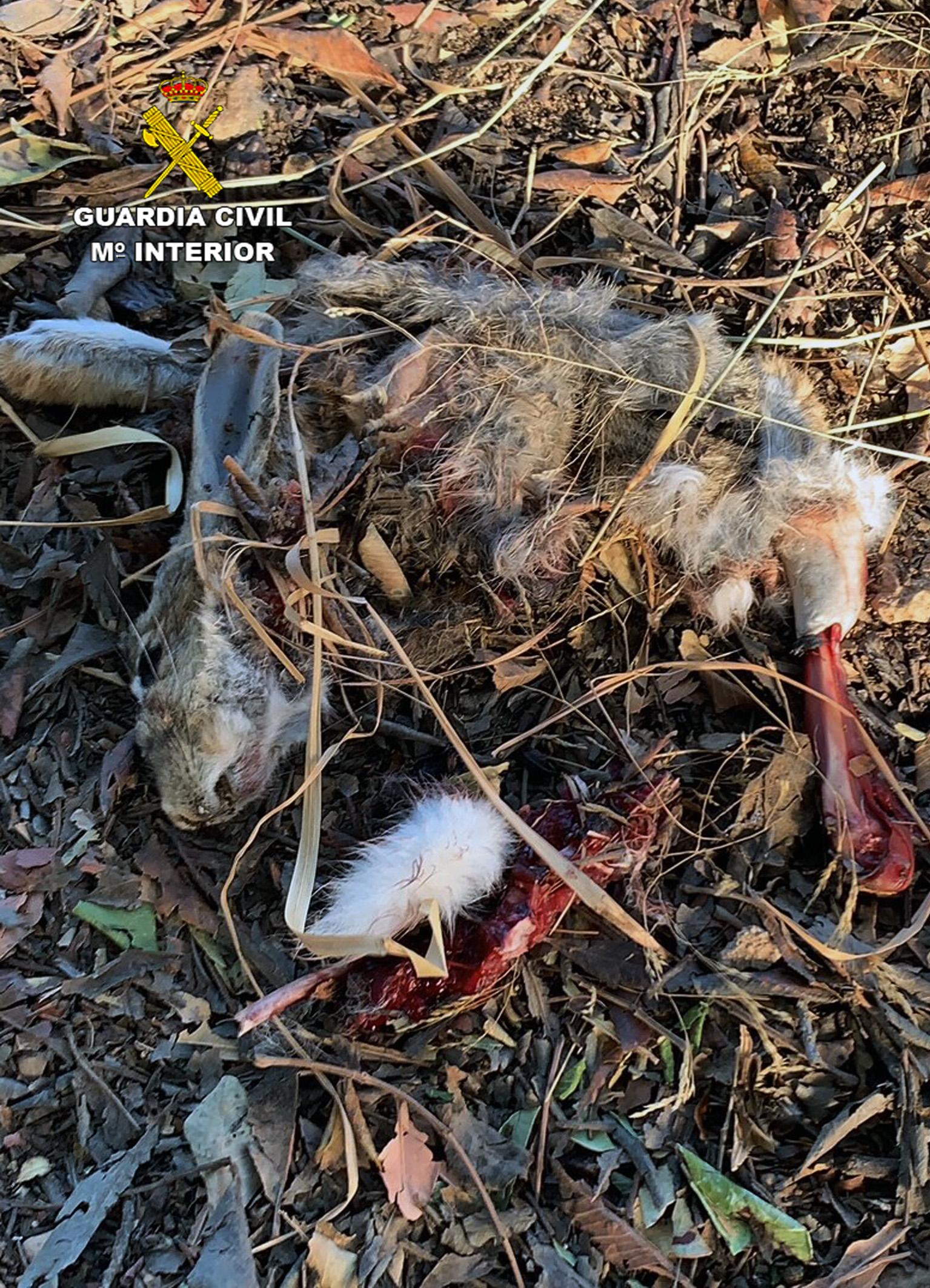 Un conejo afectado por el veneno. Imagen: Guardia Civil