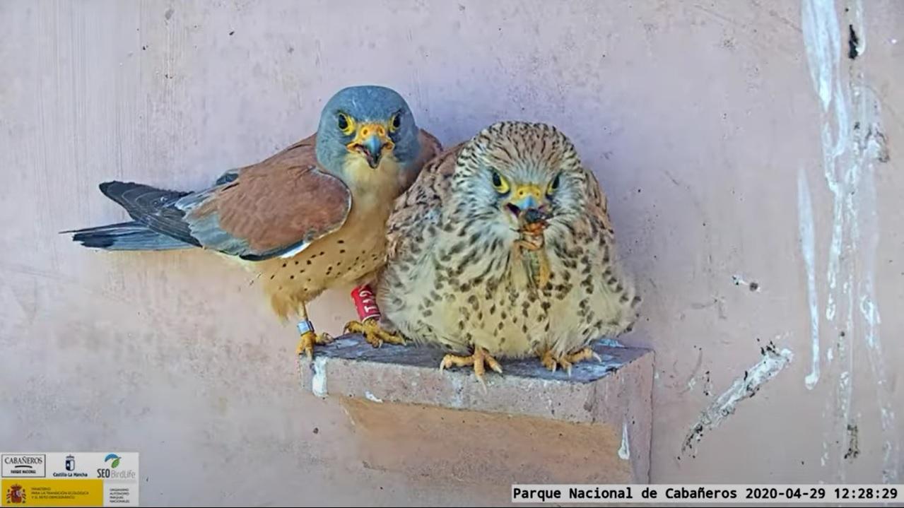 Una pareja de cernícalo primilla: macho (i) y hembra (d). Imagen: Miteco