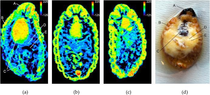 Análisis por tomografía computarizada por rayos X de picudo rojo en estado de larva. Fuente: T. León-Quinto et al. Journal of Thermal Biology 94 (2020) 102748 / UMH