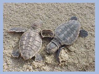 Dos crías de tortuga boba. Foto de archivo de la CARM
