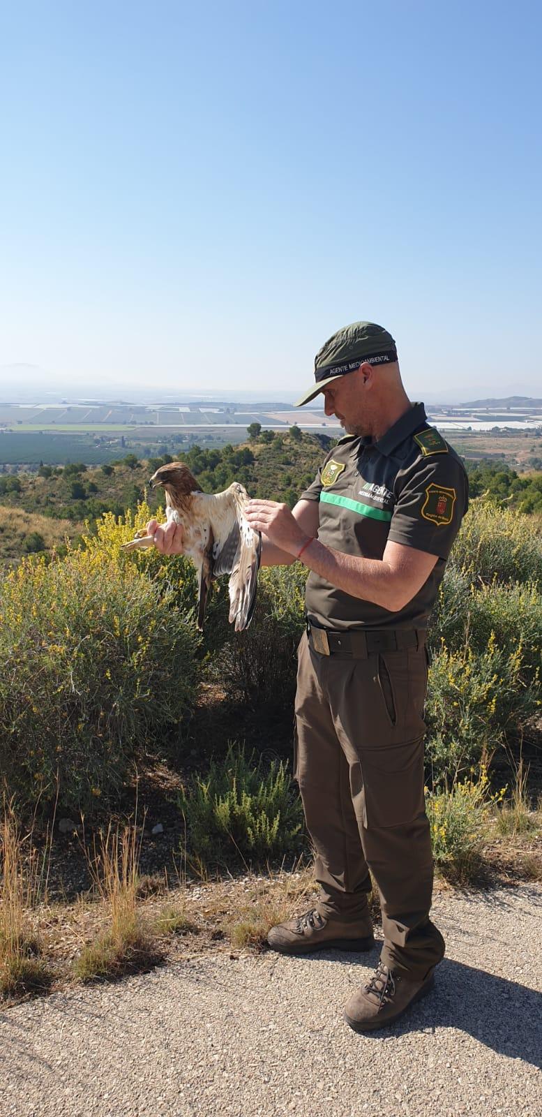 Un agente medioambiental, en el momento de liberar al ejemplar de águila calzada. Imagen: CARM