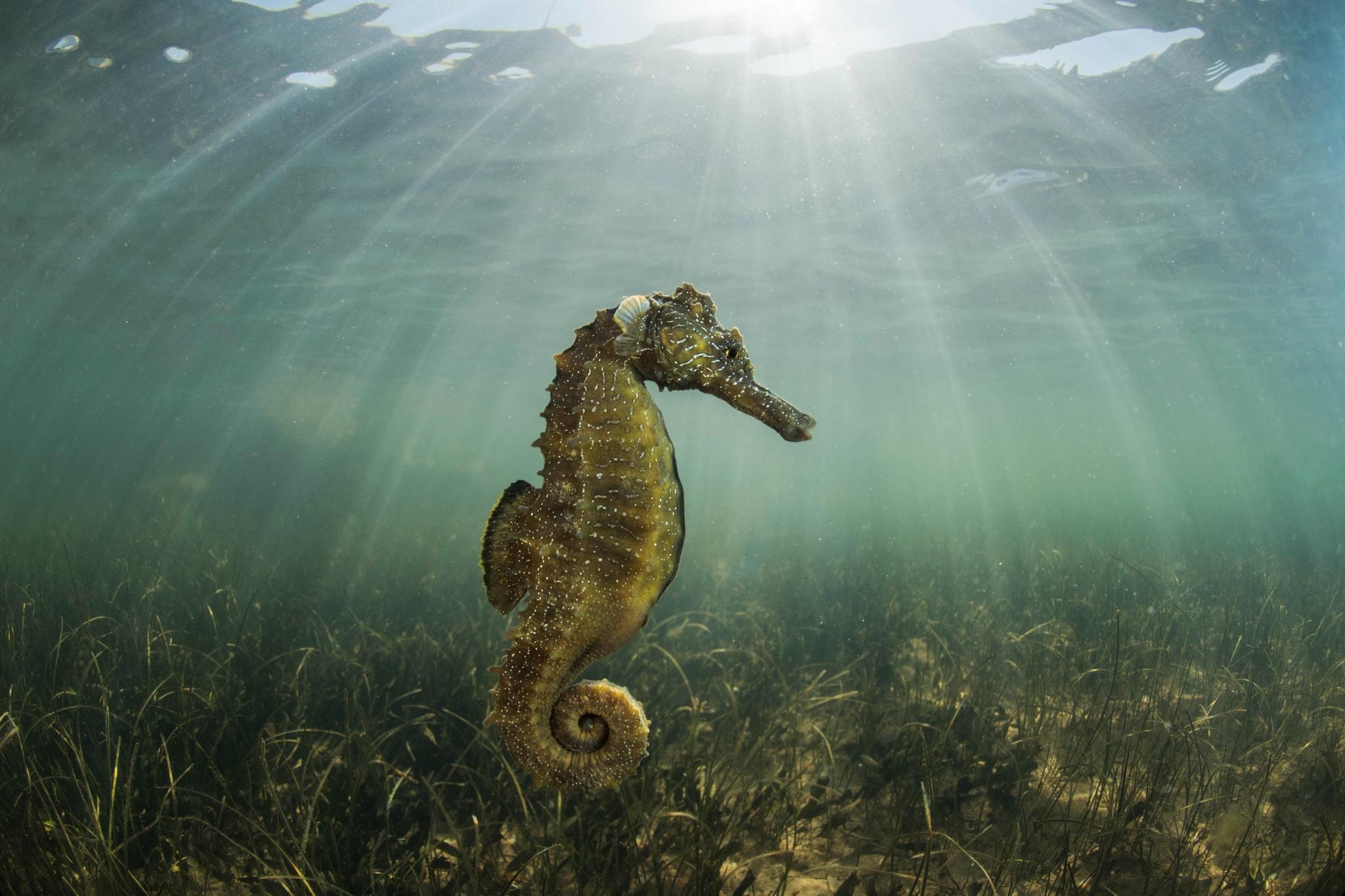 El libro 'El Mar Menor. Una laguna mágica' contiene más de 160 fotografías en las que se ven las especies de flora y fauna emblemáticas de la laguna, como este caballito de mar. Imagen: Javier Murcia / CARM
