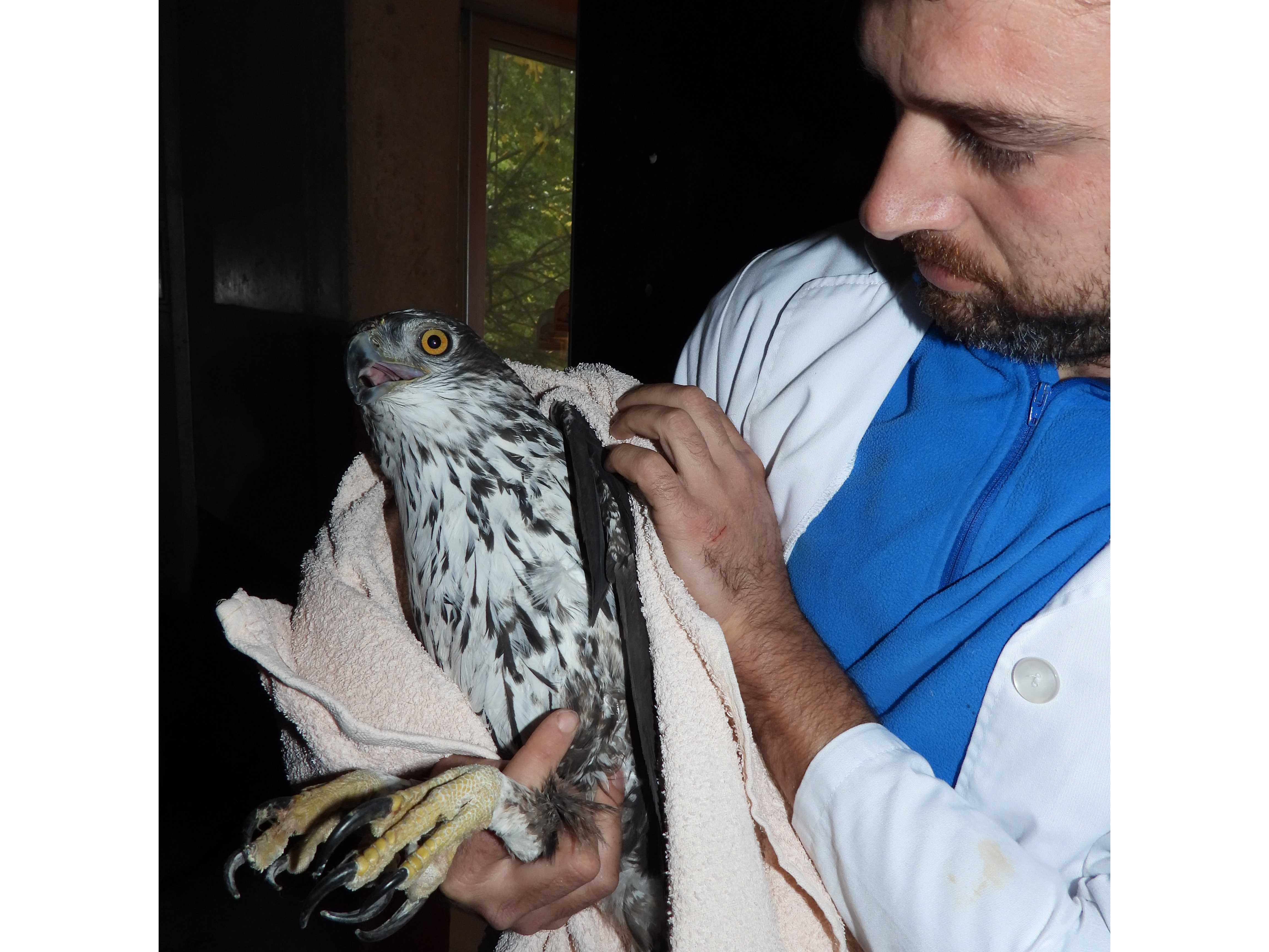 Las dos águilas de Bonelli decomisadas en Bulgaria, tras llegar al centro de recuperación de Grefa en Majadahonda, Madrid. Imagen: Grefa