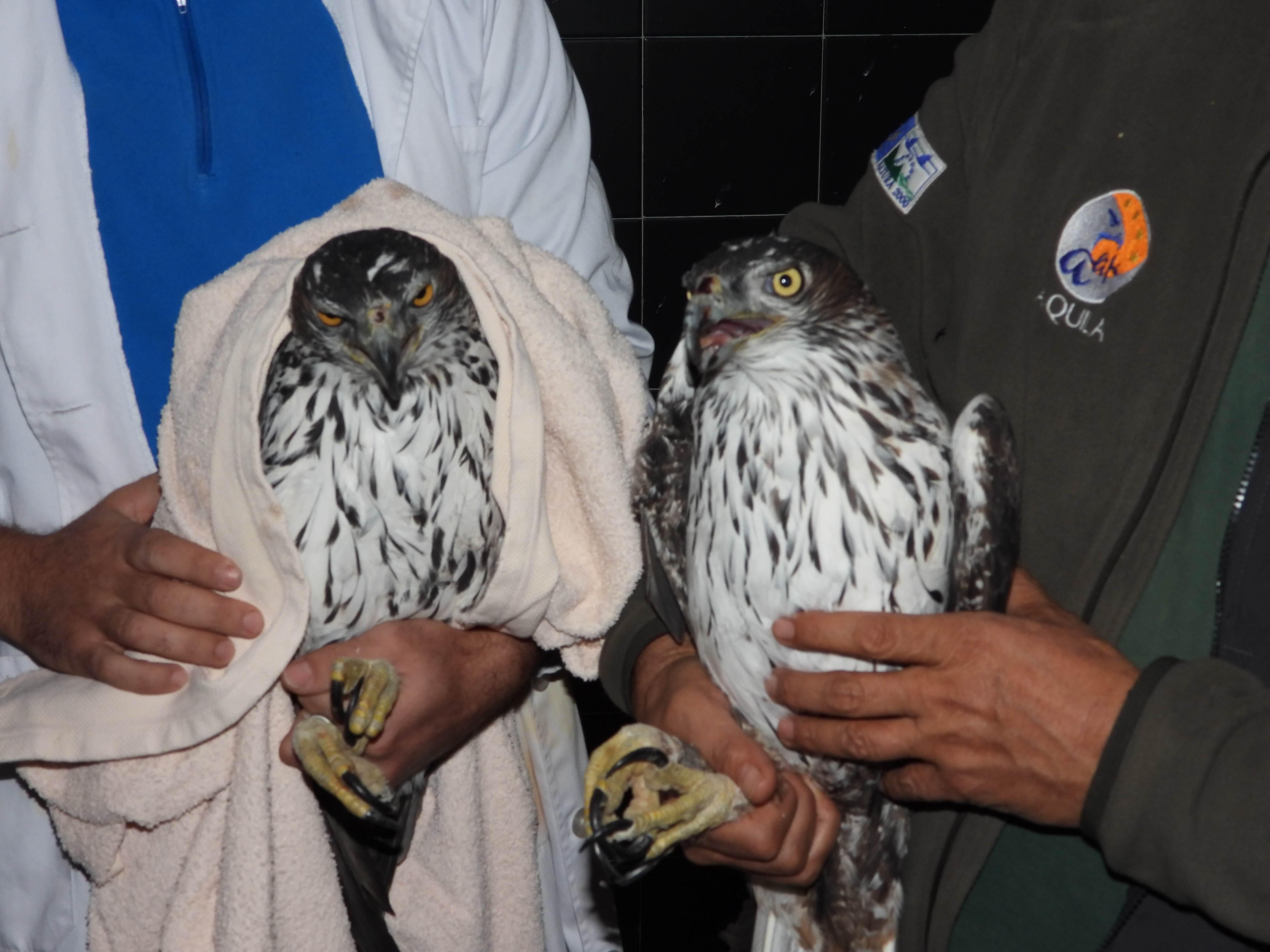 Un biólogo de Grefa examina a una de las águilas de Bonelli trasladadas desde Bulgaria a España. Imagen: Grefa