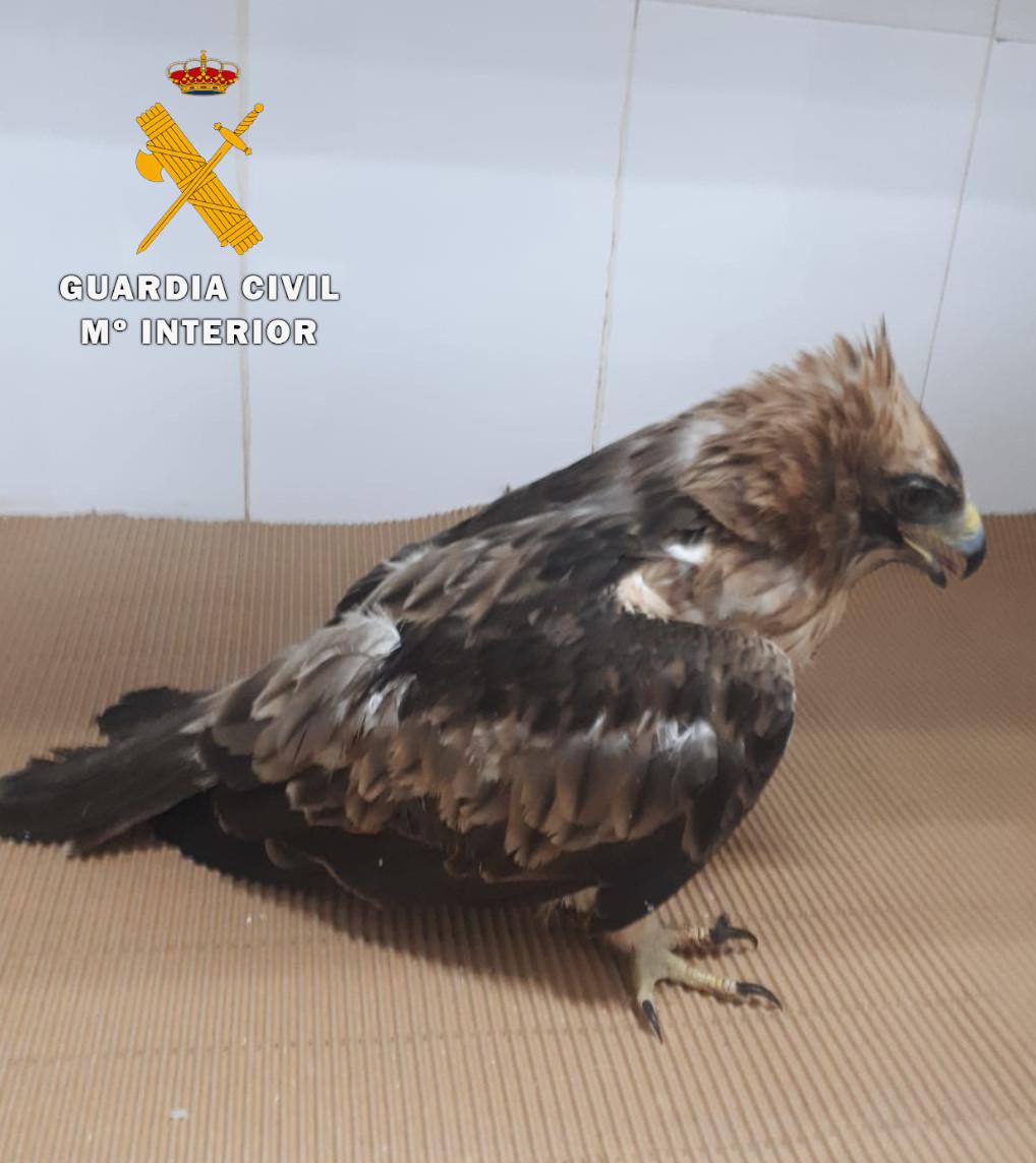 El águila calzada tras el impacto. Imagen: GC Albacete