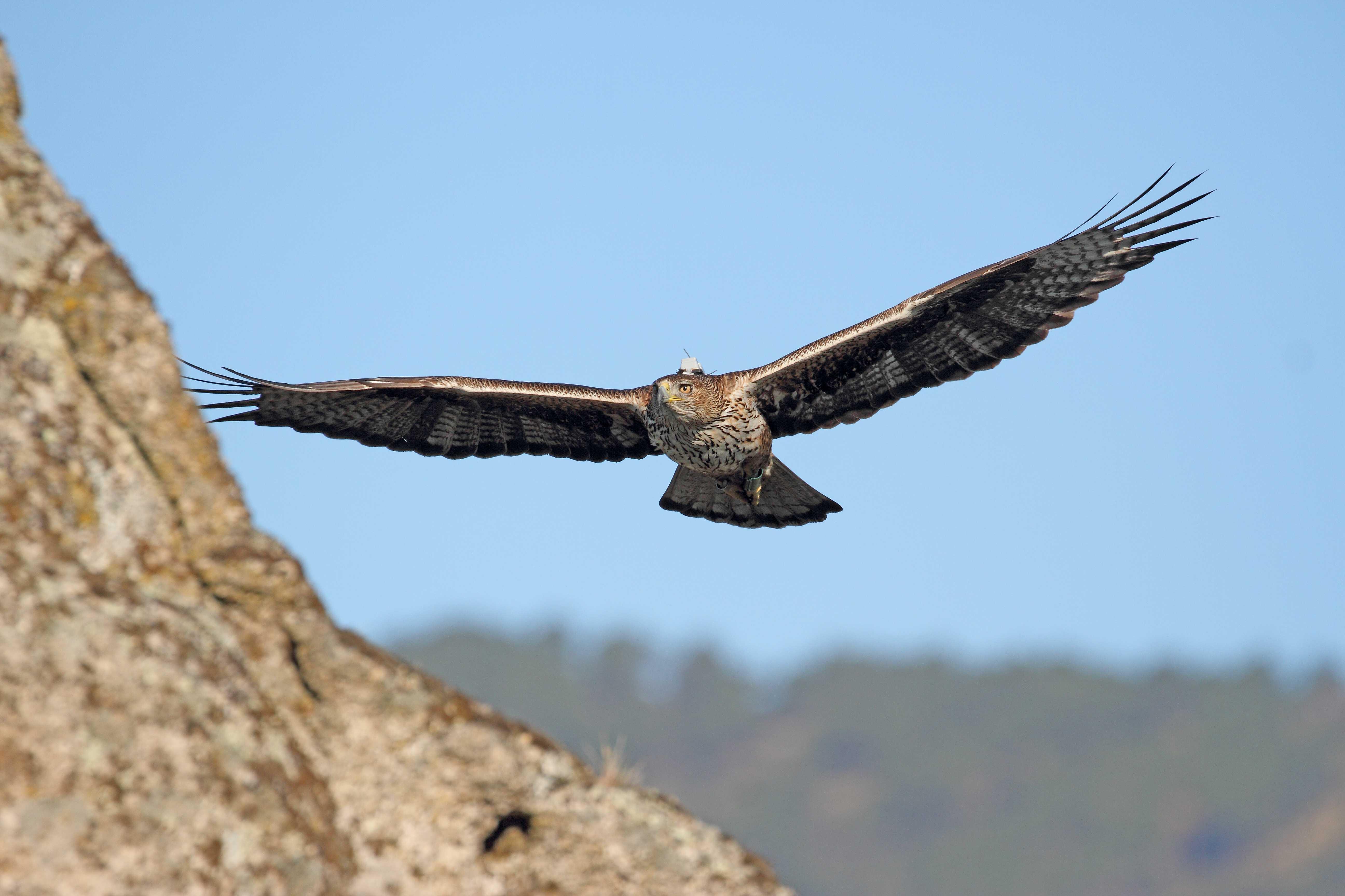 Águila de Bonelli reproductora reintroducida en la Comunidad de Madrid, con su emisor GPS visible. Imagen: Sergio de la Fuente / GREFA