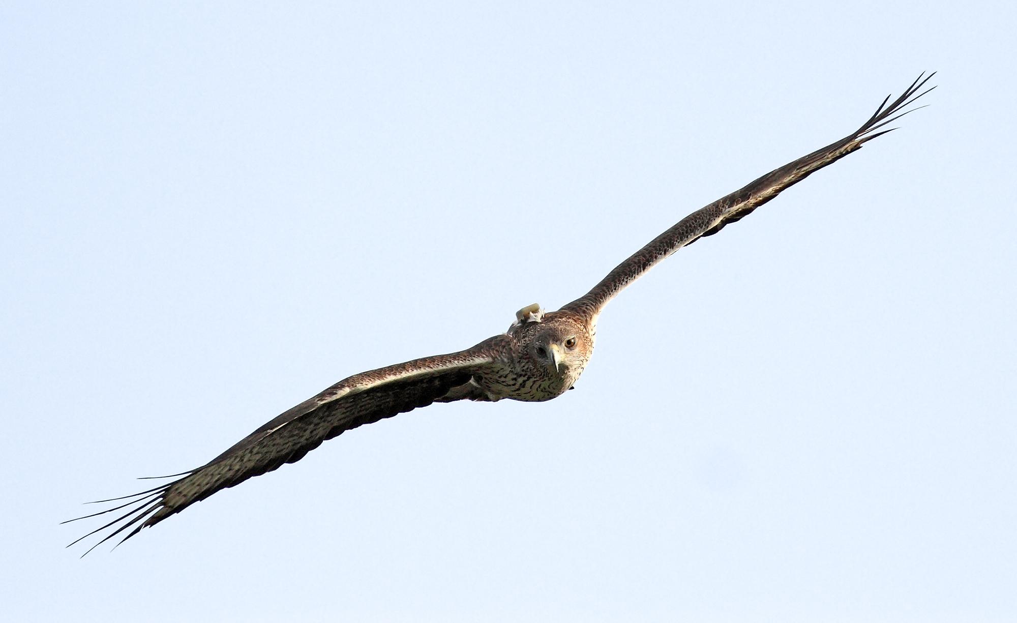 Una águila de Bonelli reproductora reintroducida vuela en la Comunidad de Madrid, con su emisor GPS visible. Imagen: Sergio de la Fuente / Grefa
