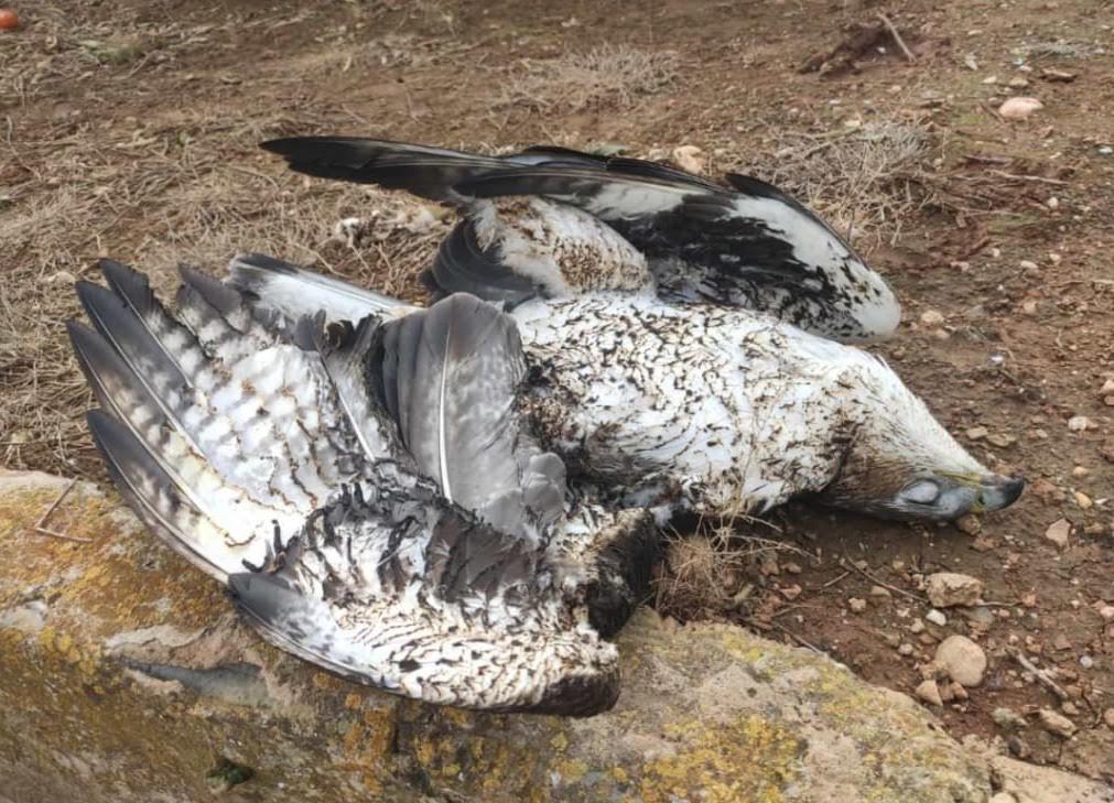Águila perdicera muerta por electrocución en un tendido eléctrico. Imagen: Adensva