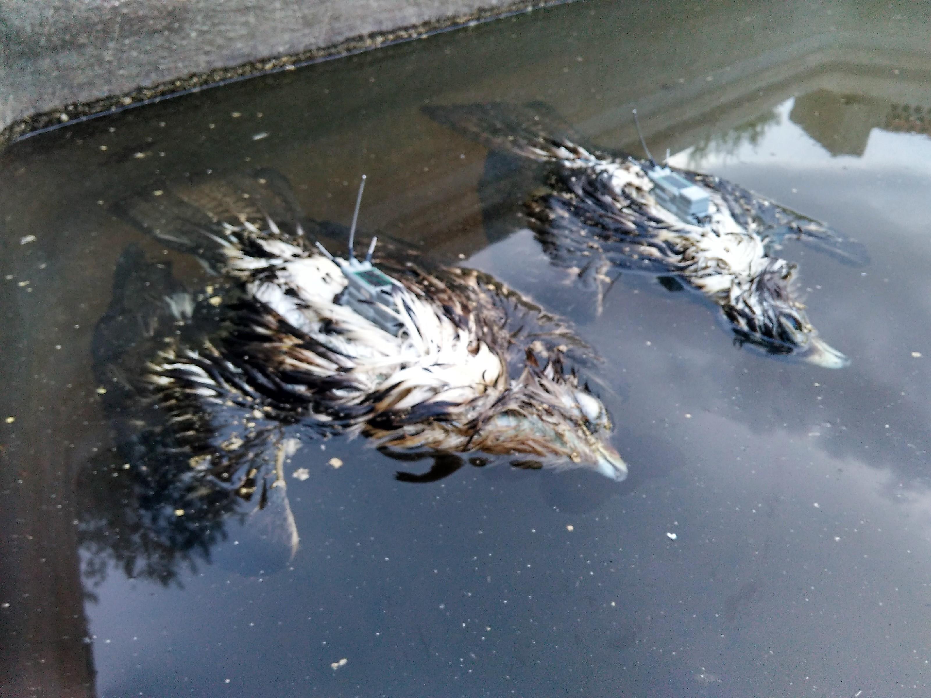 Pareja de águilas perdiceras radiomarcadas que murieron ahogadas en un depósito. Imagen: Adensva