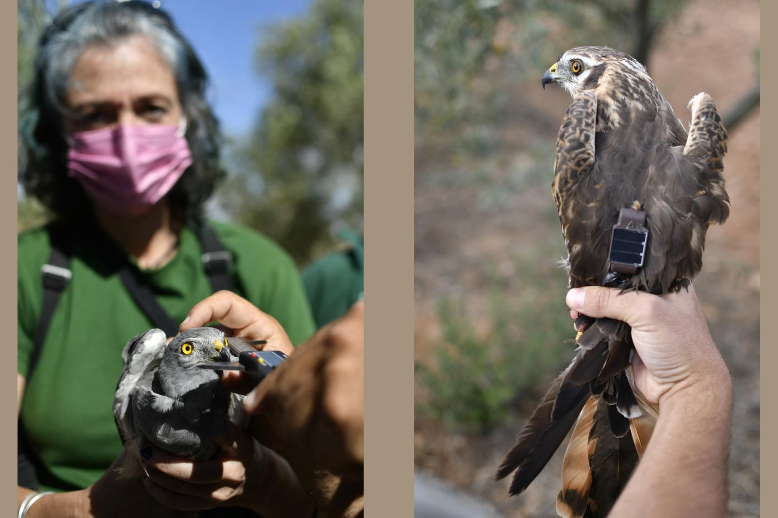 Toma de medidas biométricas en un macho adulto, y detalle del dorso de una hembra con el emisor instalado. Imagen: AMUS