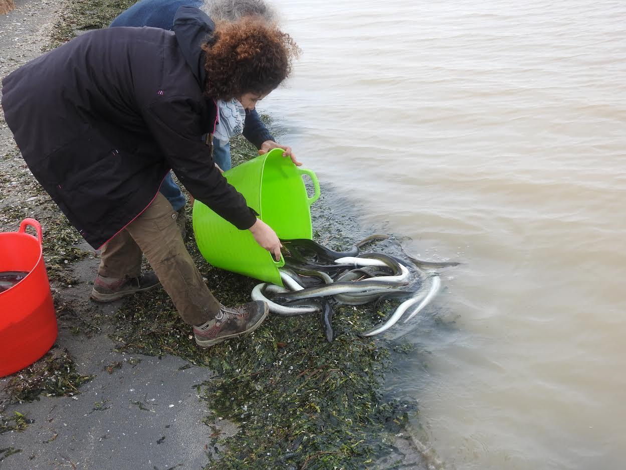 Liberación de anguilas marcadas a orillas del Mar Menor el 4 de diciembre. Imagen: A. Zamora / ANSE