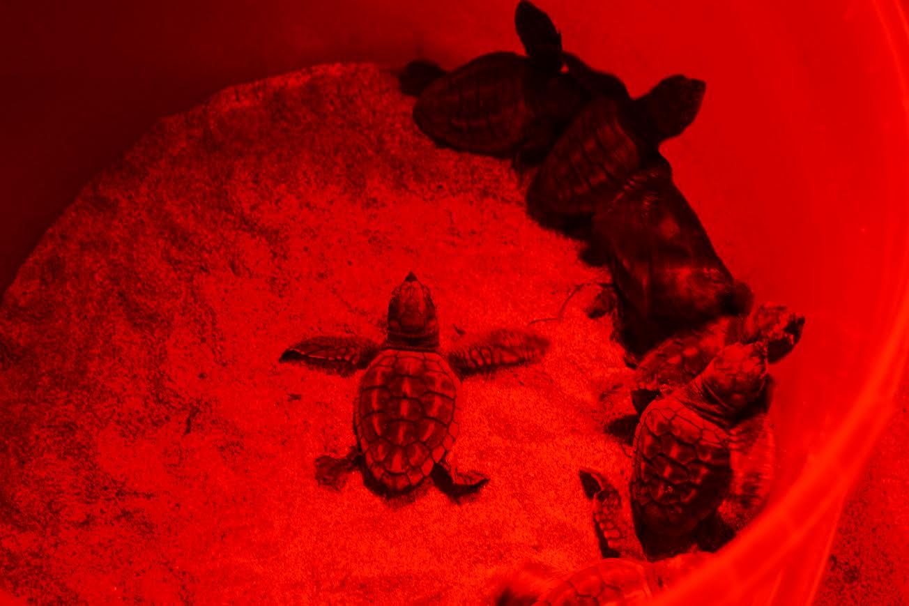 Parte de las tortugas nacidas durante este mes de septiembre en La Manga. P. García/ANSE