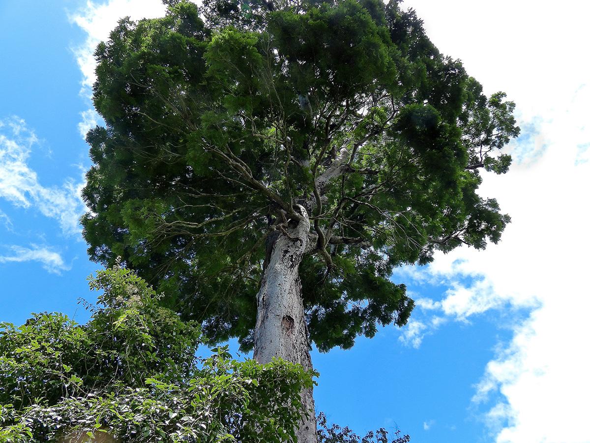 Árbol del bosque atlántico. Imagen: GWILYM P. LEWIS/ ESF