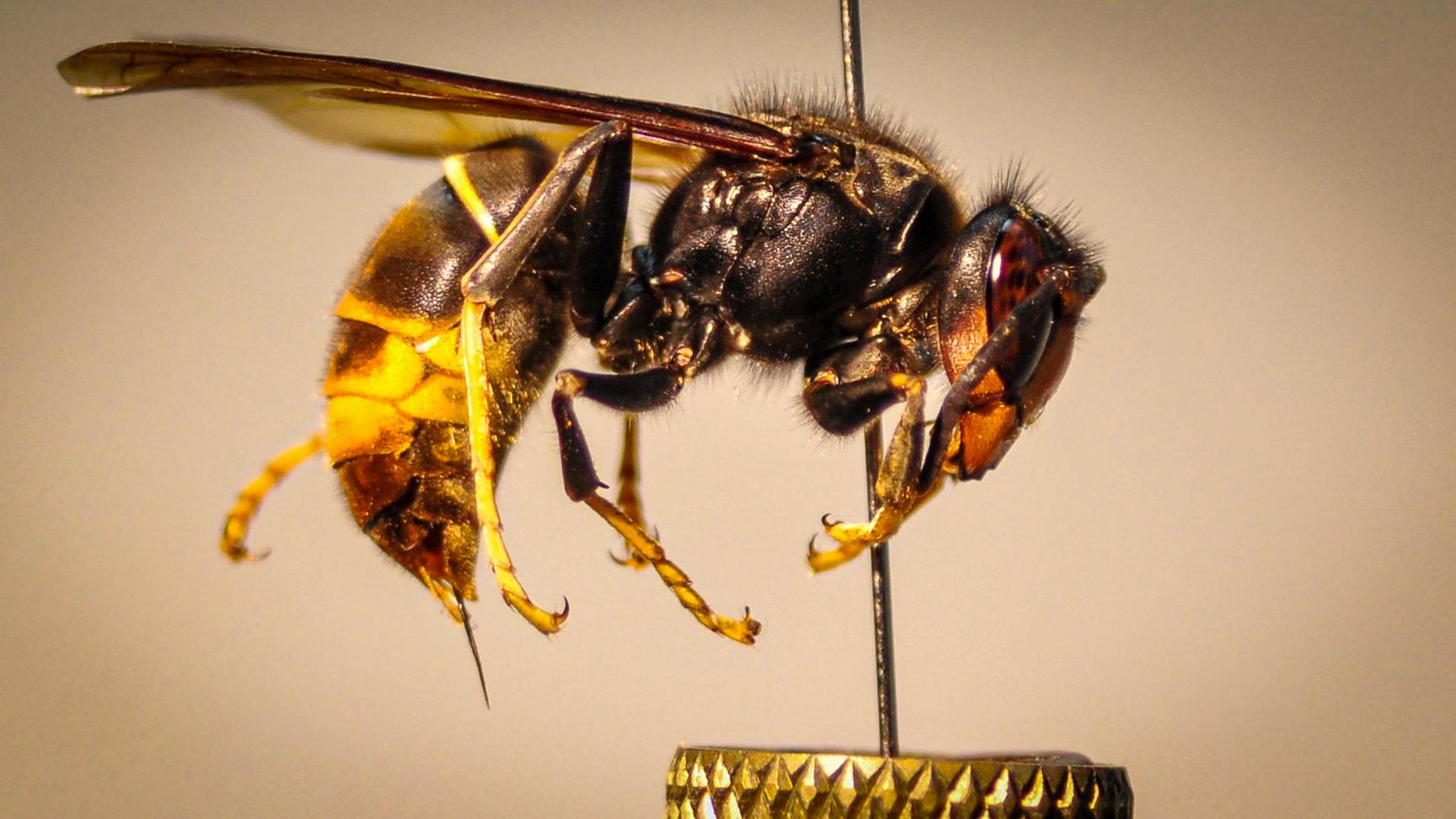 Avispa asiática ('Vespa velutina' ssp. 'Nigrithorax') . Imagen: A. Costa / UIB