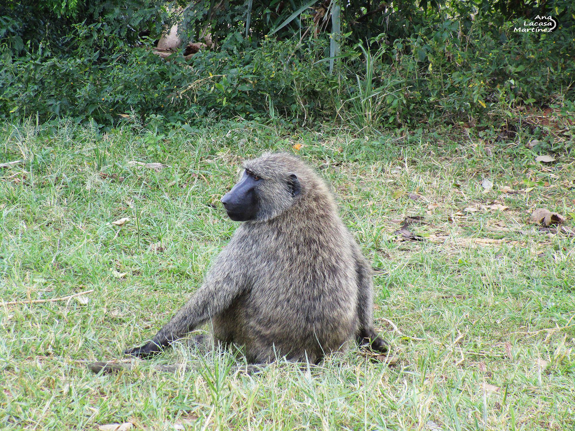 El babuíno nos vigilaba distraídamente