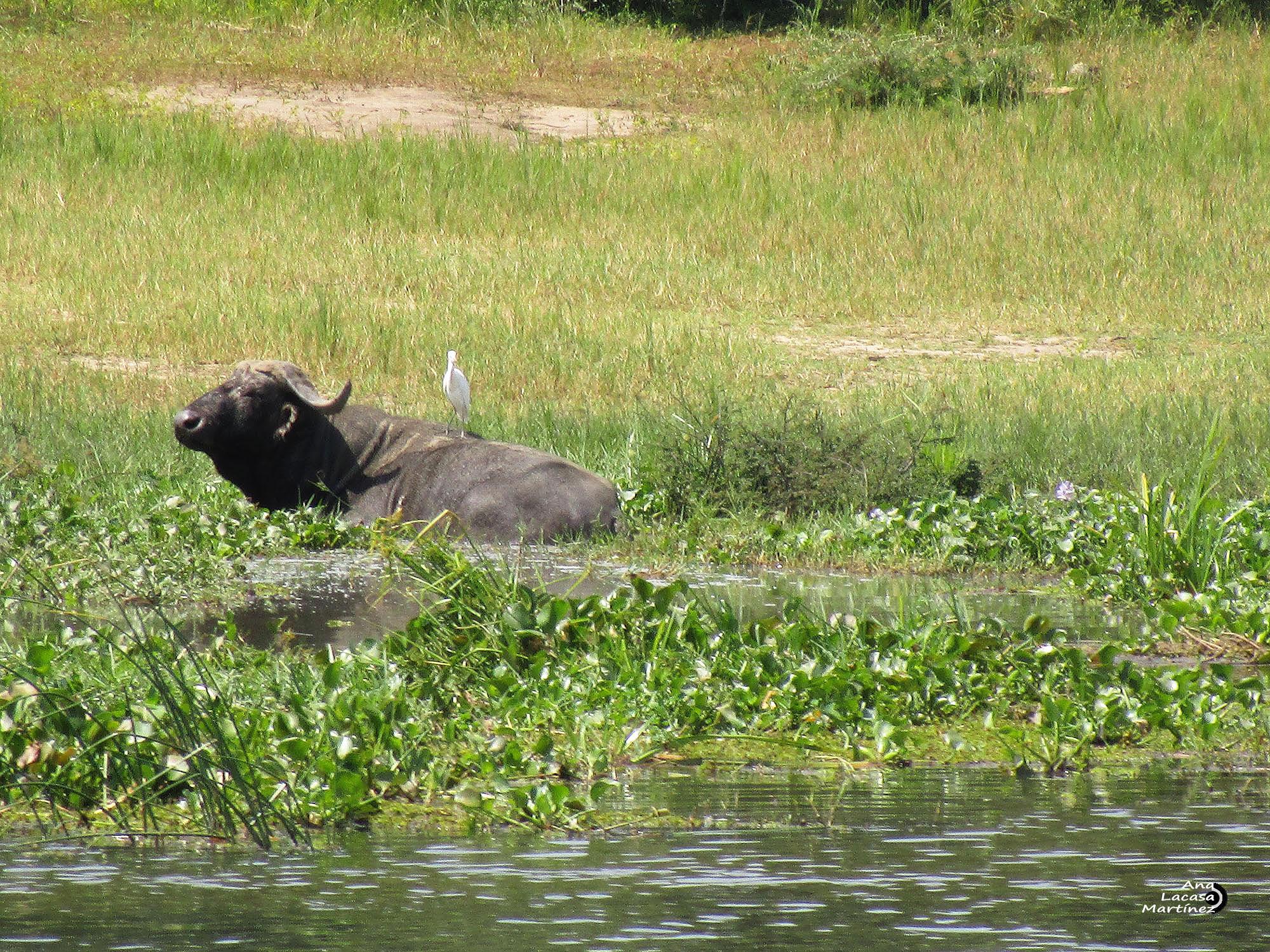 El impresionante búfalo, cómo no, con su garcilla al lomo
