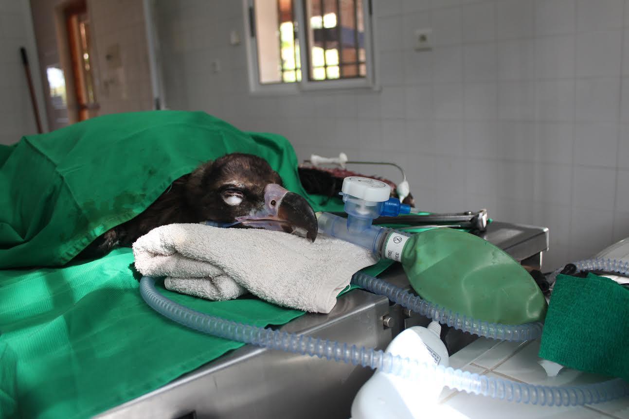 Un buitre en recuperación. Imagen: AMUS