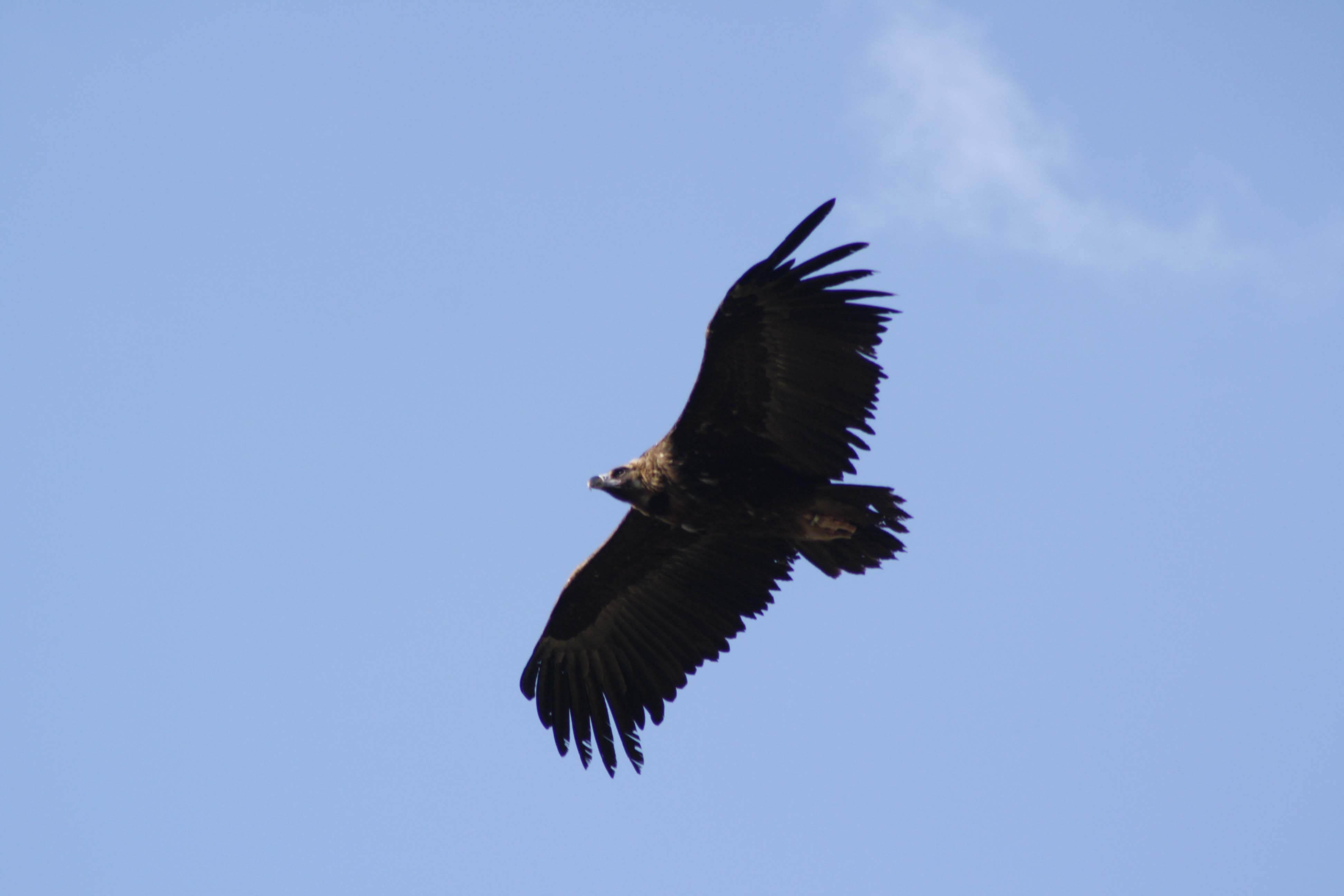 Buitre negro en vuelo. Imagen: Grefa