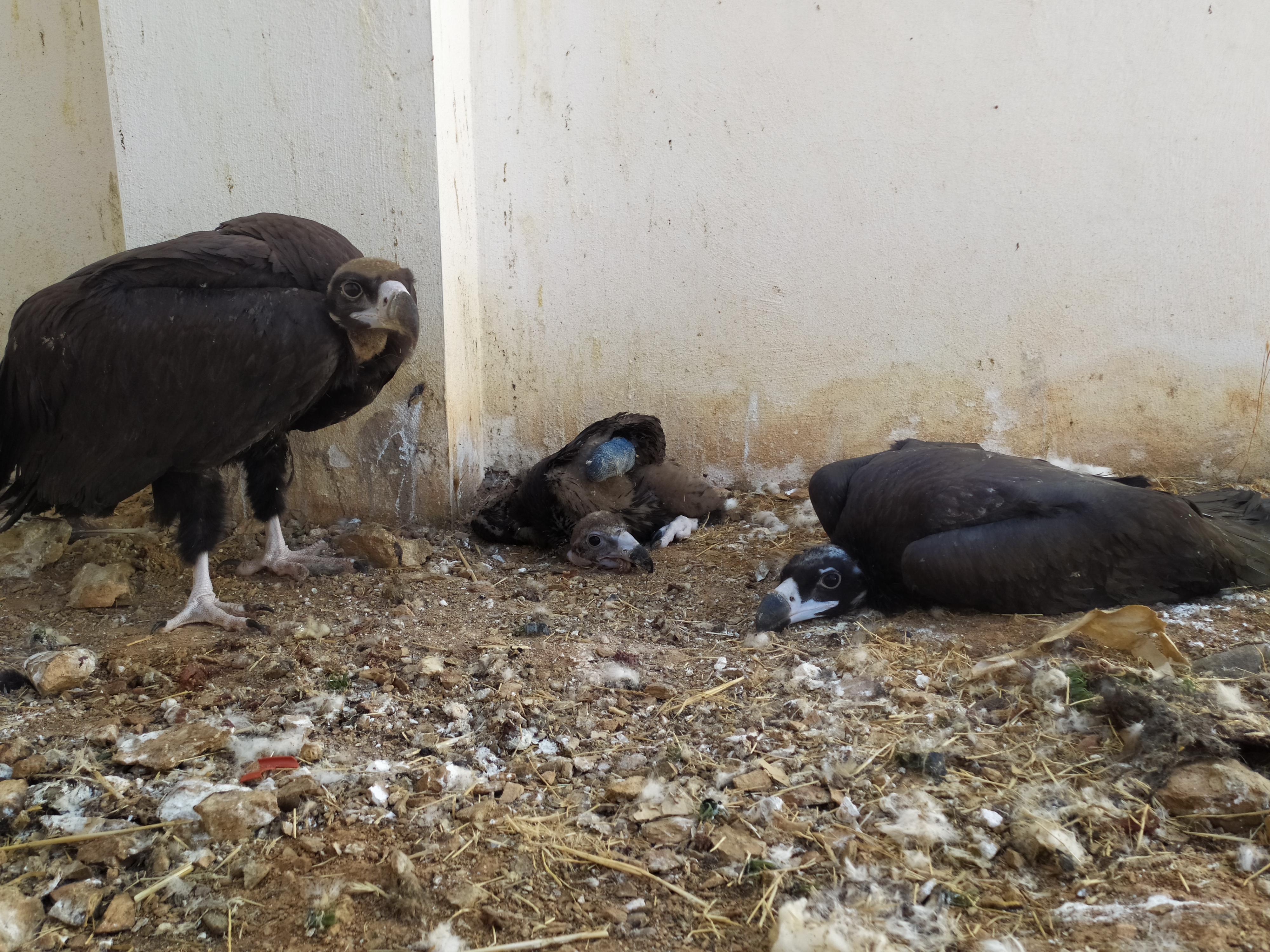 Momento en el que el pollo de Buitre negro comparte instalación con otros de su misma especie. Imagen: AMUS