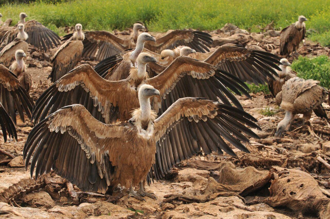 Comedero de buitres en las Hoces del Riaza. Imnagen: Jorge Sierra / WWF