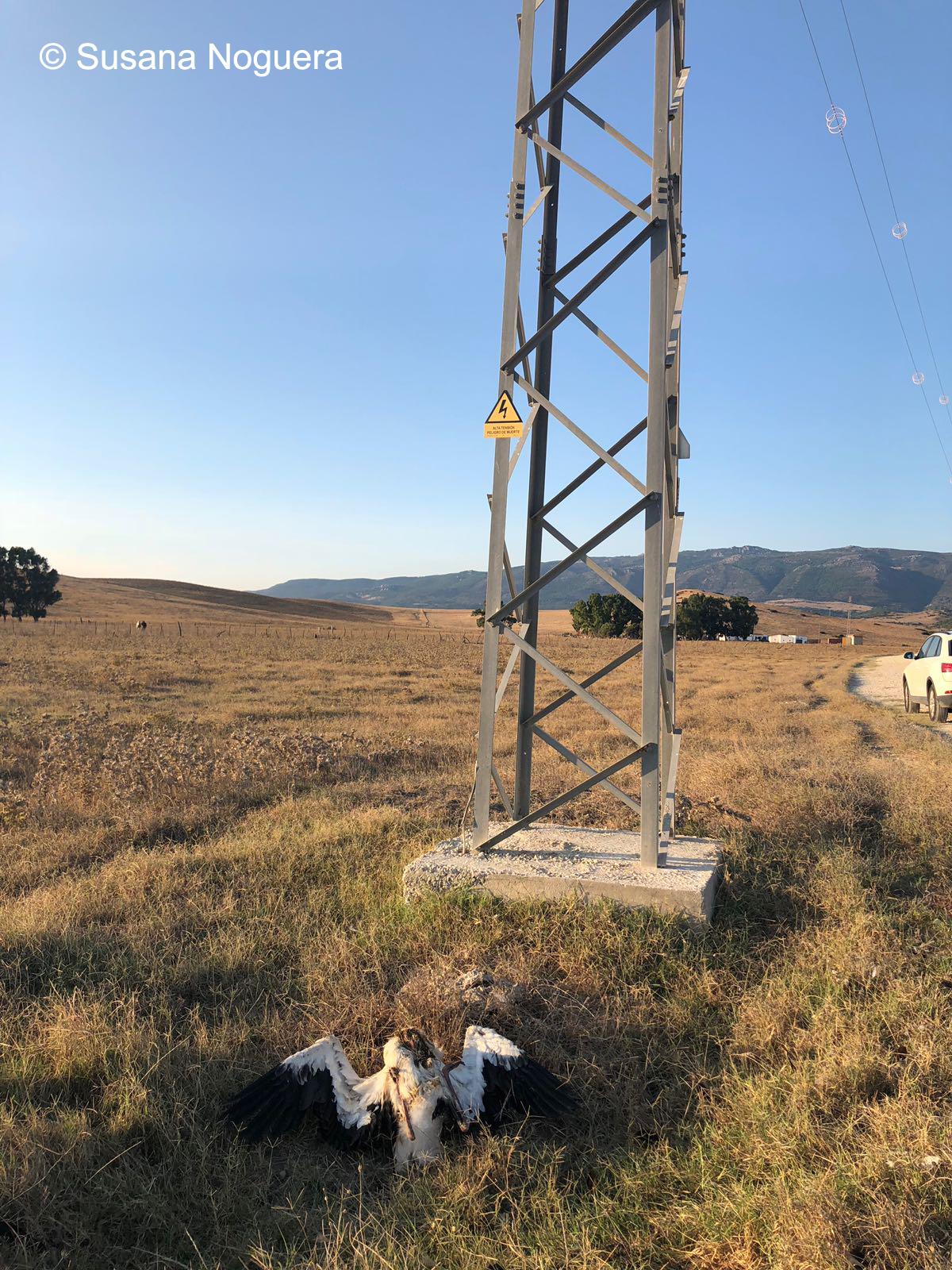 Un cadáver de cigüeña blanca al pie de una torre eléctrica. Imagen: Susana Noguera Hernández