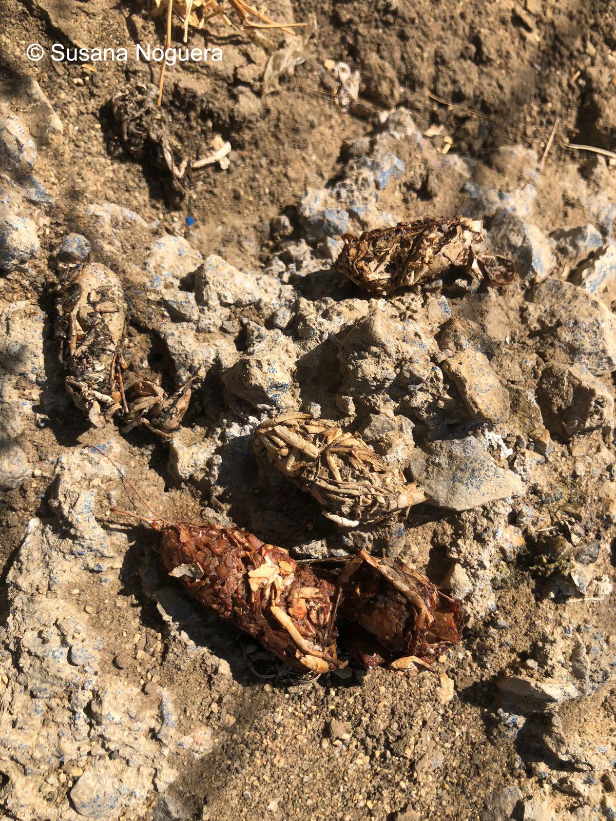 Excrementos de nutria. Imagen: Susana Noguera Hernández
