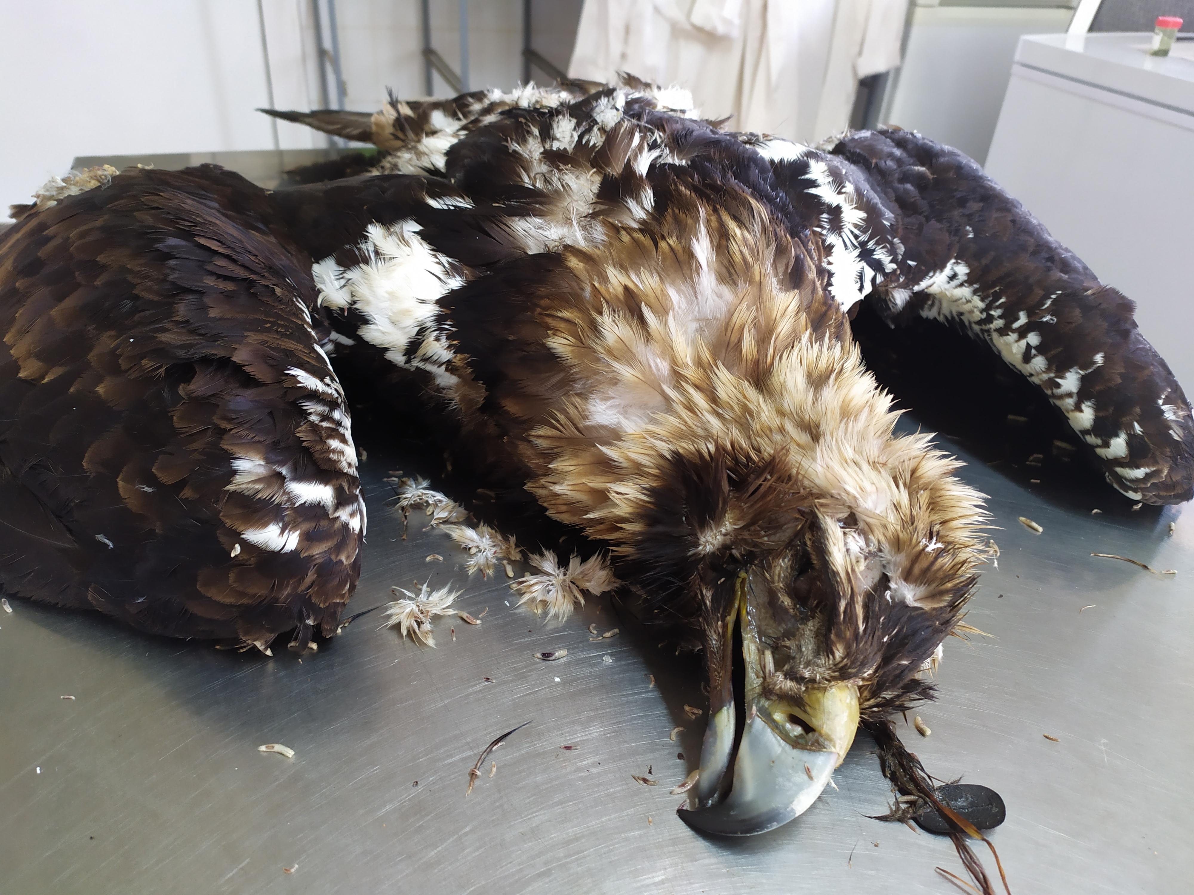 Cadáver de un ejemplar de águila imperial antes de realizar la necropsia en el Hospital de Fauna Silvestre de AMUS. Imagen: AMUS