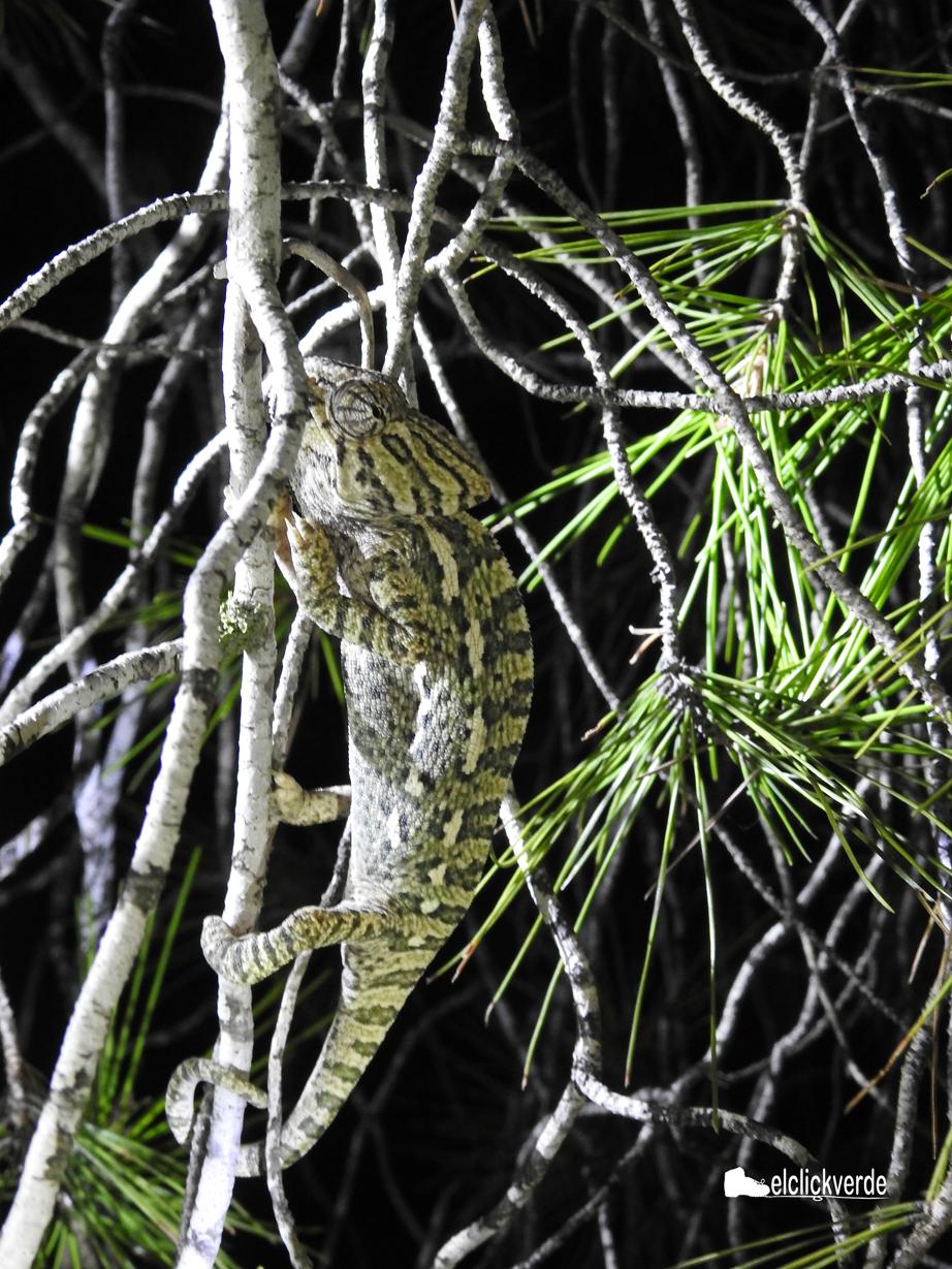 Camaléon en lo alto de un pino, hace unos años, en un censo