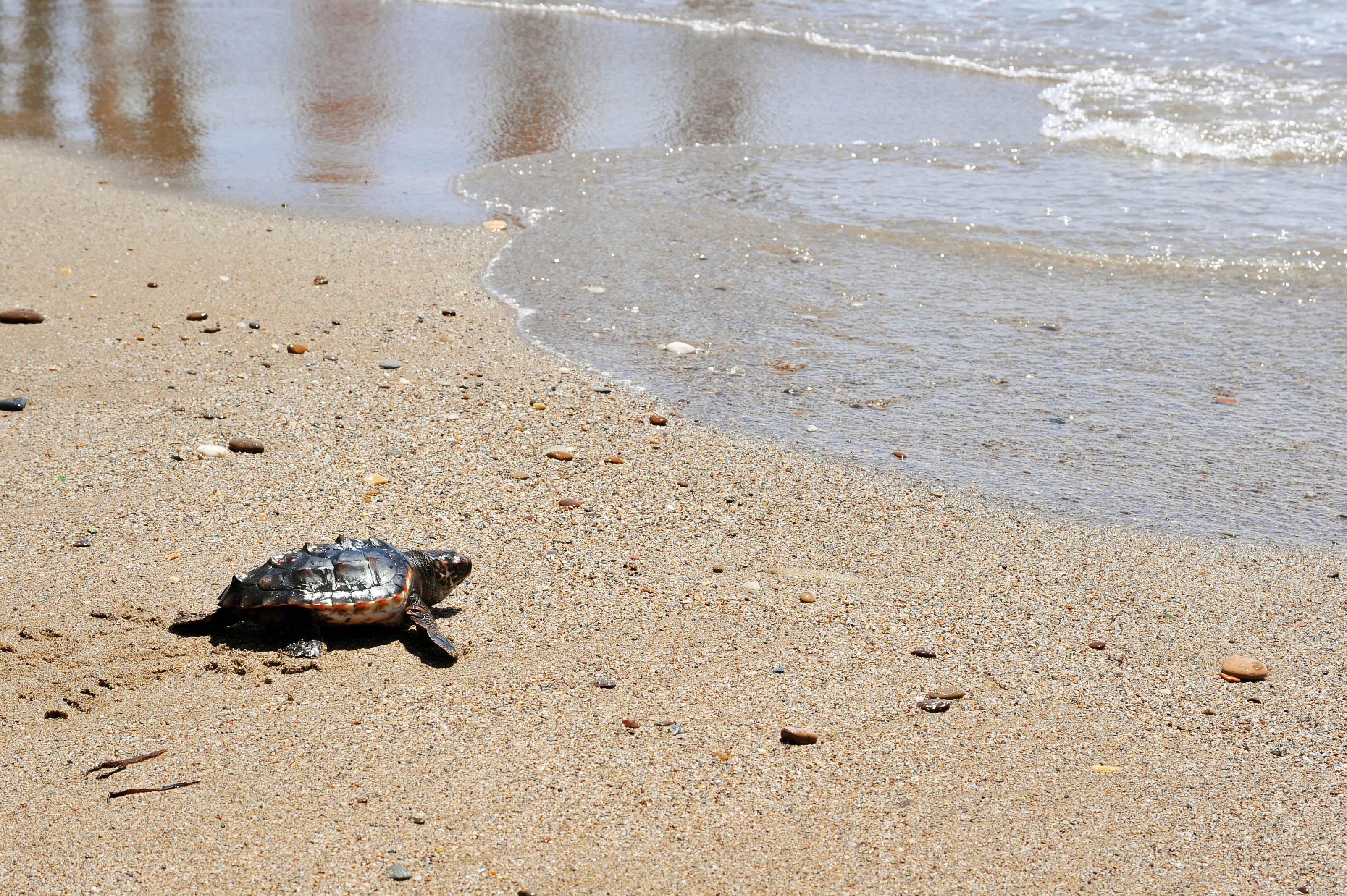 Tortuga boba en una playa de Pulpí, en Almería. ©Andrés Díaz/CSIC Comunicación