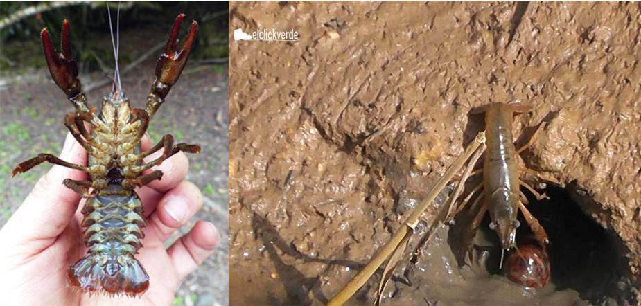 A la izquierda, cangrejo autóctono (imagen: CSIC). A la derecha, dos cangrejos rojos americanos