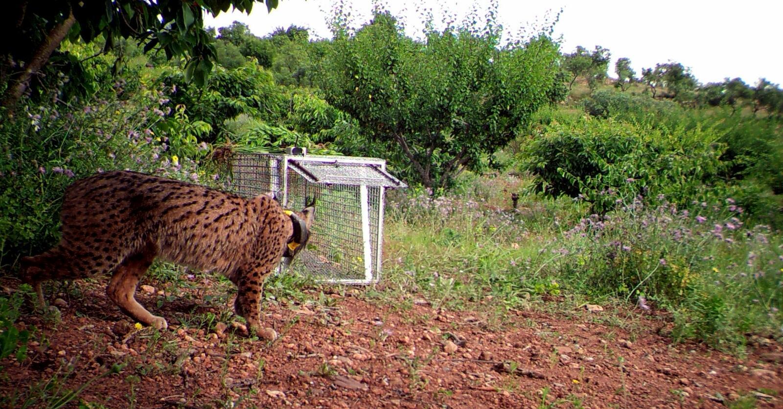'Litio', el lince ibérico que llegó a Barcelona, se encuentra en buen estado en el Centro de Recuperación de Especies Amenazadas de Granada. Imagen: LIFE+ IBERLINCE
