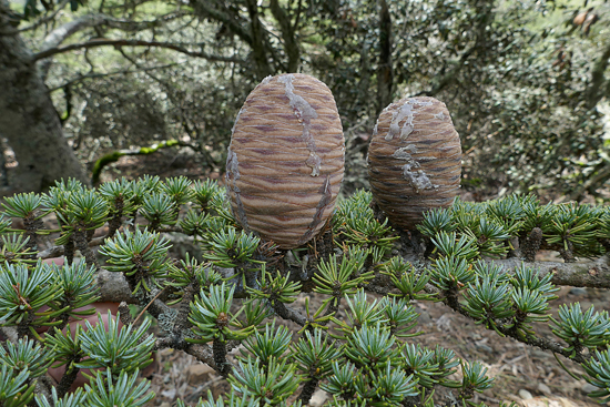 'Cedrus brevifolia'. Imagen: Carlos Aedo / CSIC