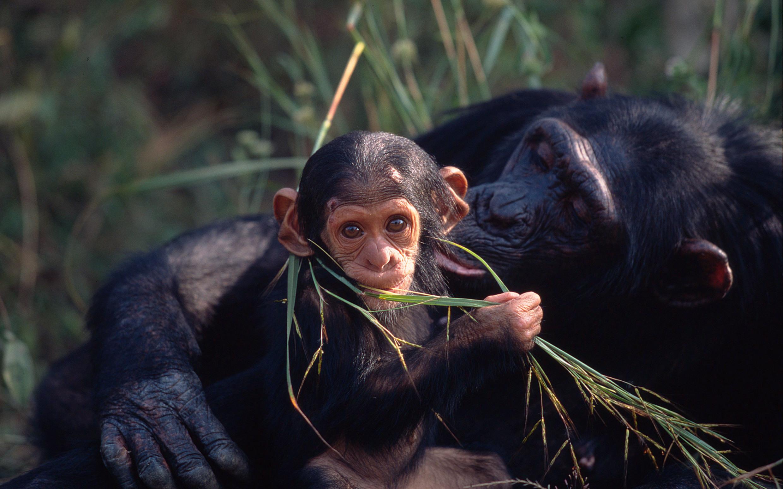 La población del chimpancé central es de 130.000 ejemplares, según un nuevo estudio publicado en 2018. Imagen: © Martin Harvey / WWF