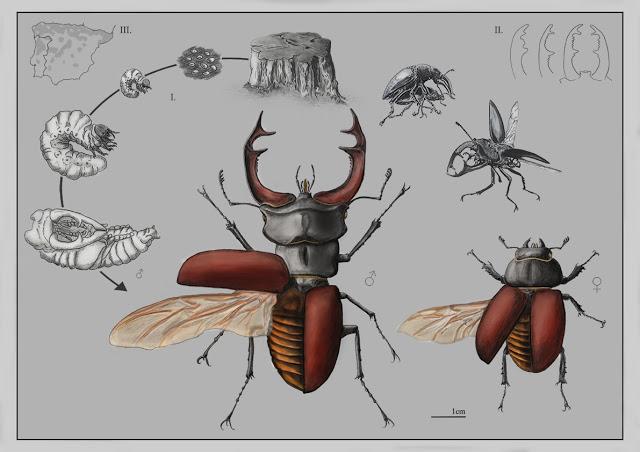 Ciervo volante, de Rita Cortês de Matos, ganadora de la categoría científica. Imagen: MNCN