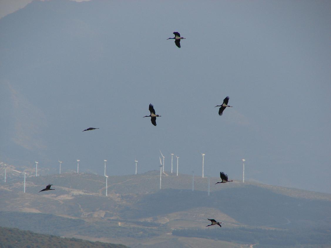 Varias cigüeñas negras sobrevolando la zona de Tarifa. Imagen COCN.