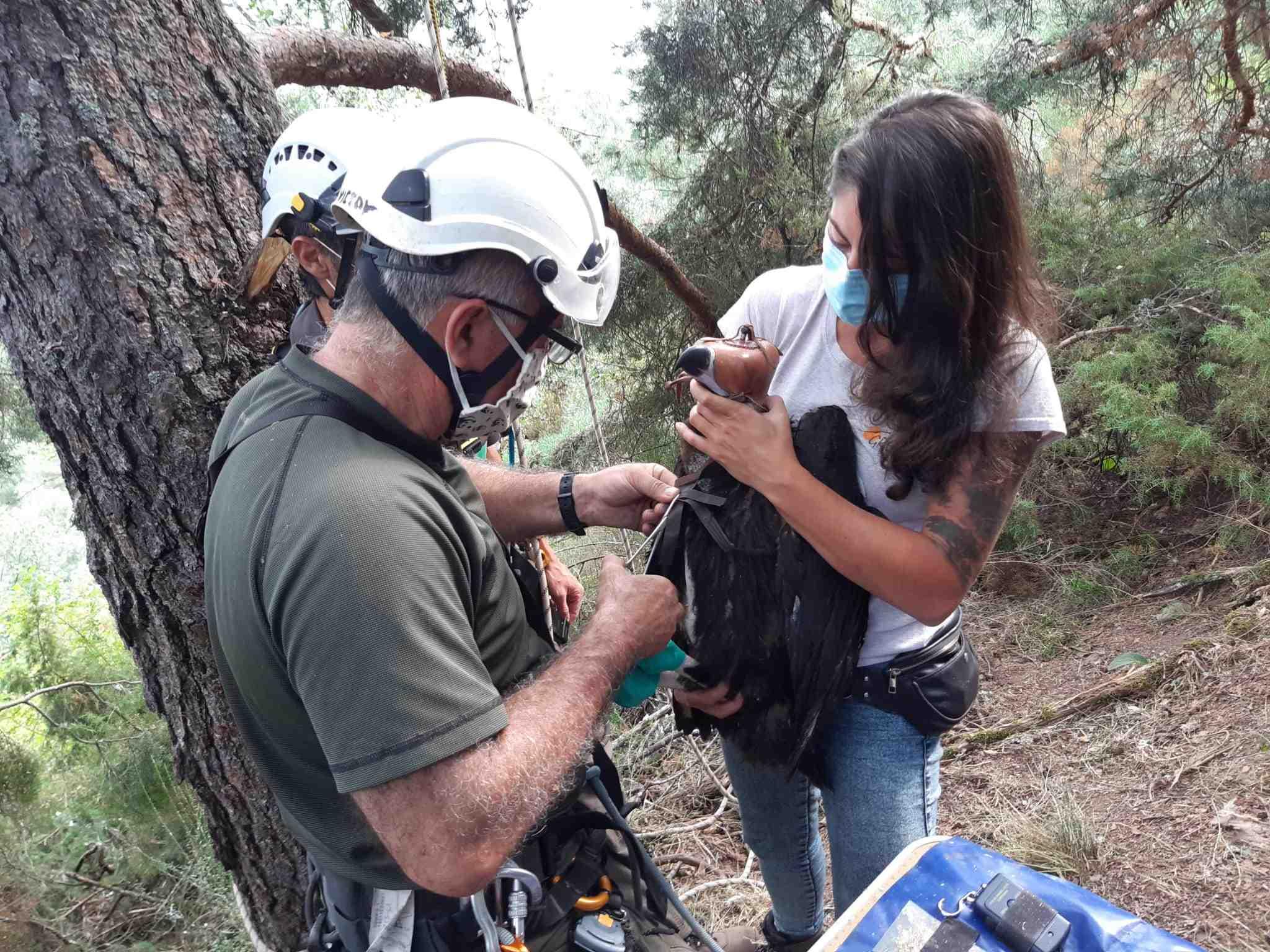 Colocación de un emisor GPS al buitre negro nacido en 2021 en Huerta de Arriba (Burgos). Imagen: Grefa