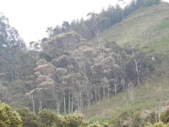 Plantación de eucaliptos. Imagen: Fapas