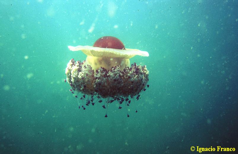 Cotylorhiza tuberculata. Imagen de Ignacio Franco. Centro Oceanográfico de Murcia.