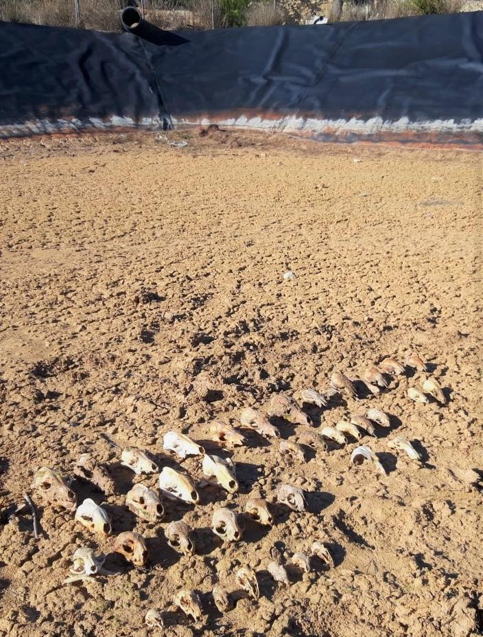 Cráneos de los animales que murieron ahogados y fueron hallados en el fondo de una balsa de la provincia de Valencia. Imagen: Adensva