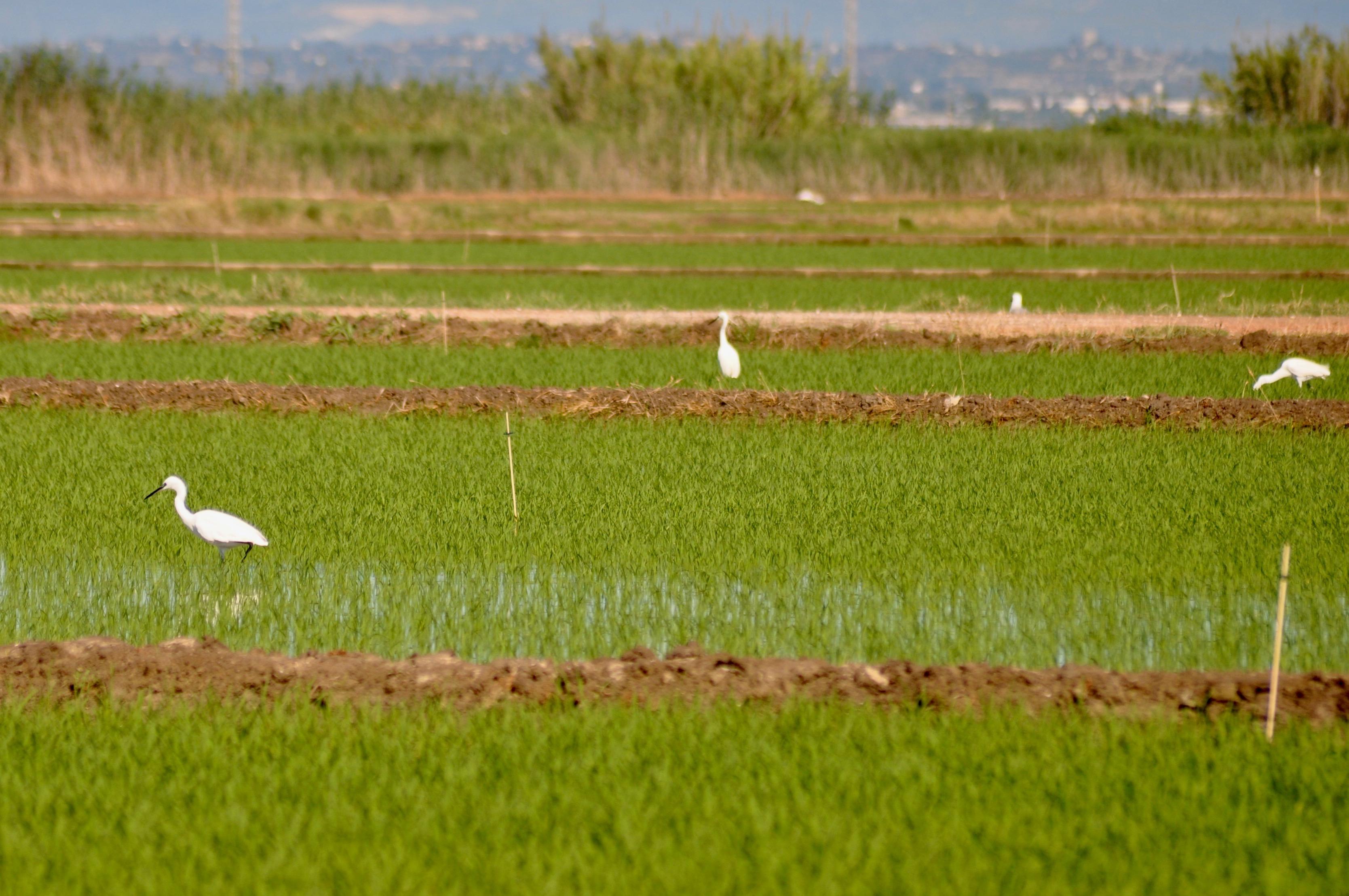 Los difusores de feromona sintética de la hembra del insecto ya están instalados en los arrozales valencianos. Imagen: GV