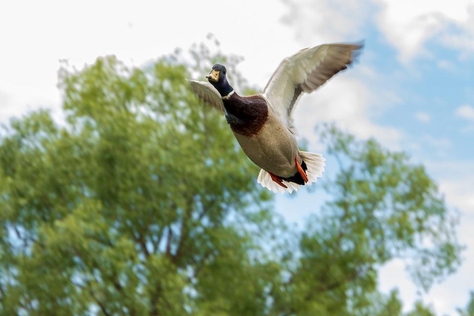 Un ánade azulón en vuelo. Imagen: Pixabay