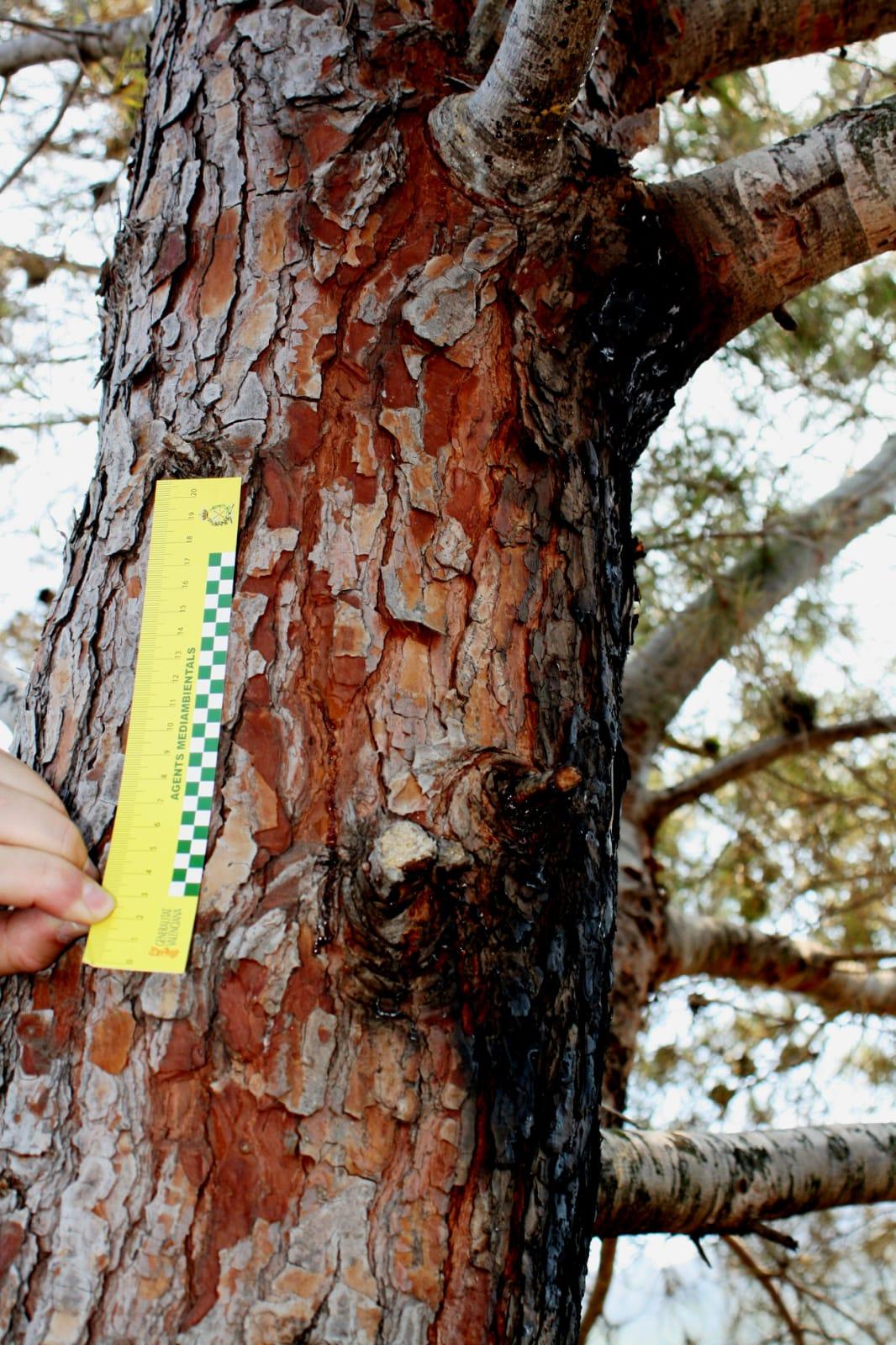 Efecto en un pino del rayo origen del incendio de Llutxent. Imagen: Generalitat Valenciana